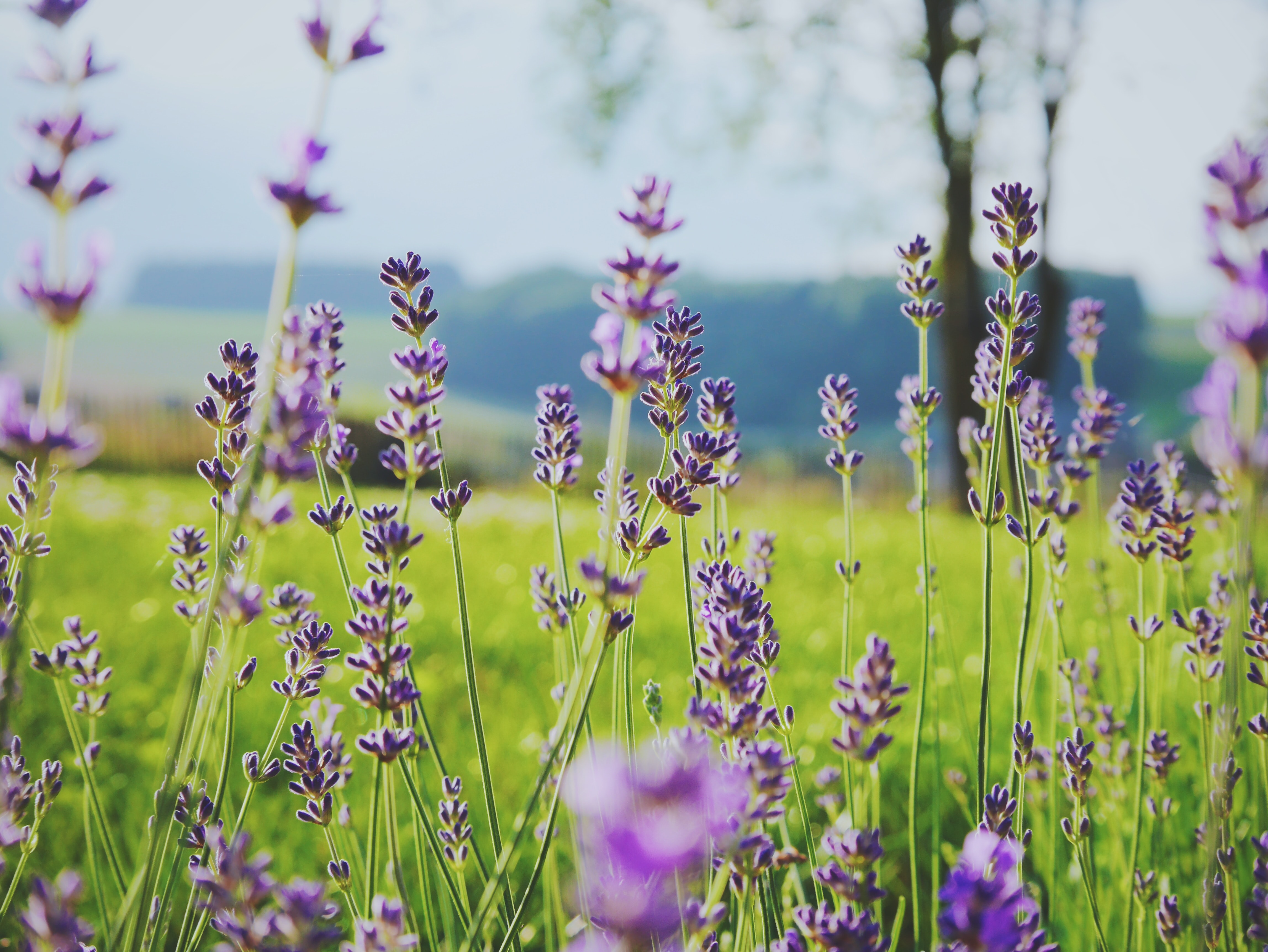A low shot of tall lavender flowers in a green field