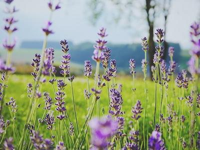 kwiaty-lawenda