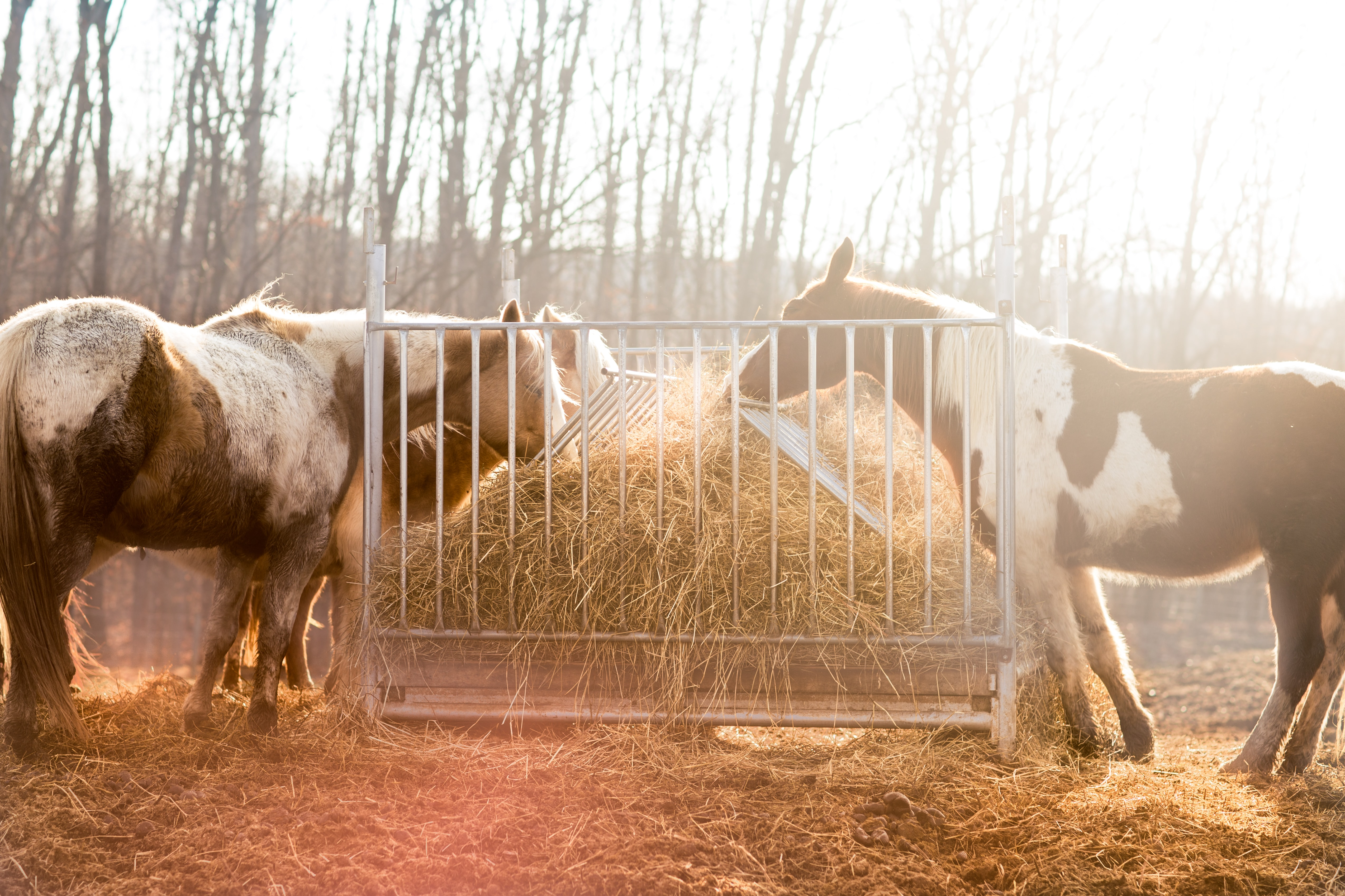 Three skewbald horses eating hay out of a steel trough