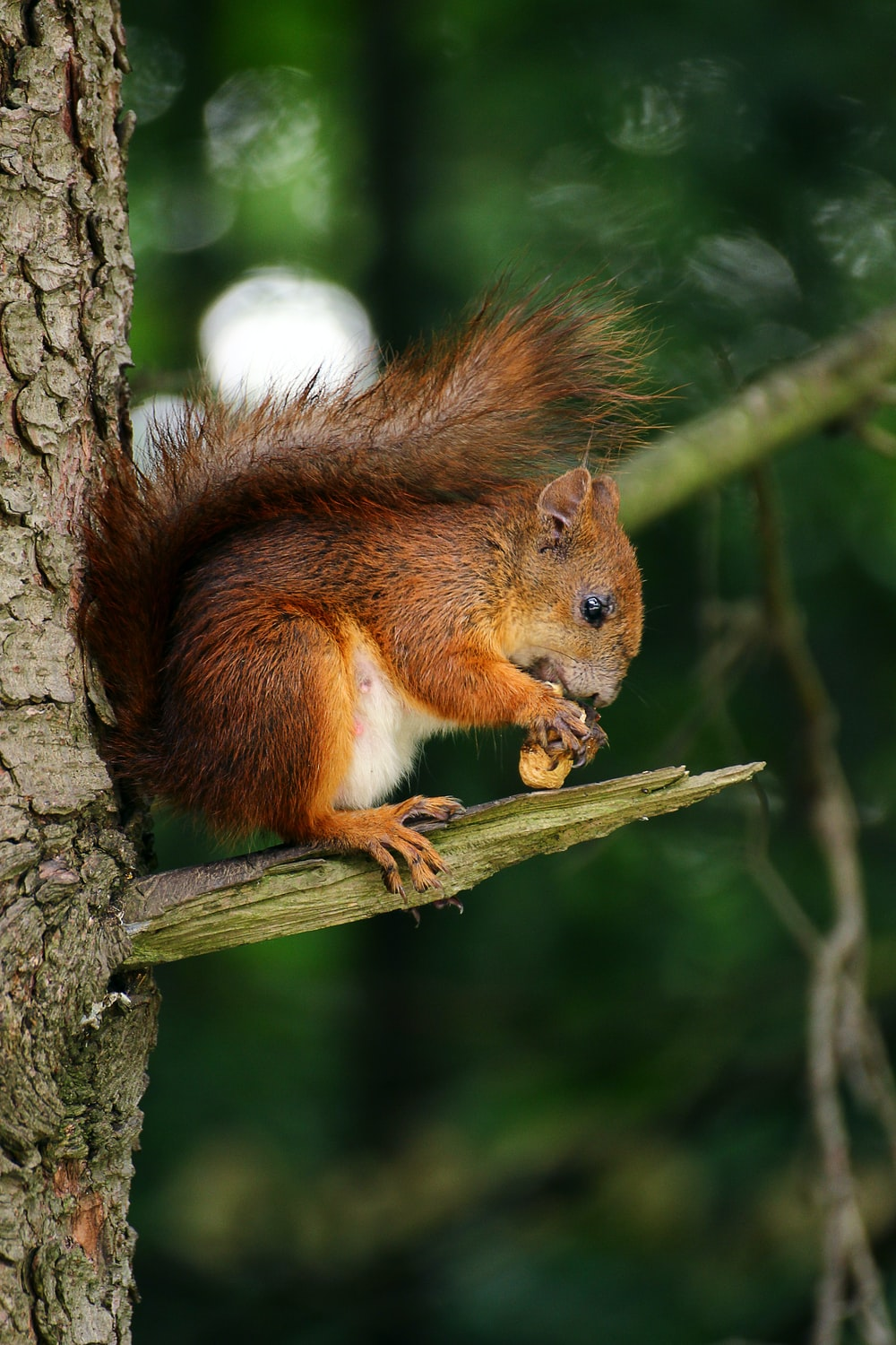 brown squirrel on branch of tree eating nut