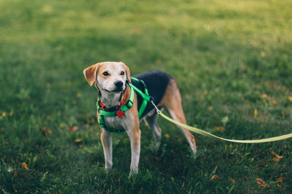 short-coated tan and black dog with green harness standing on green grass