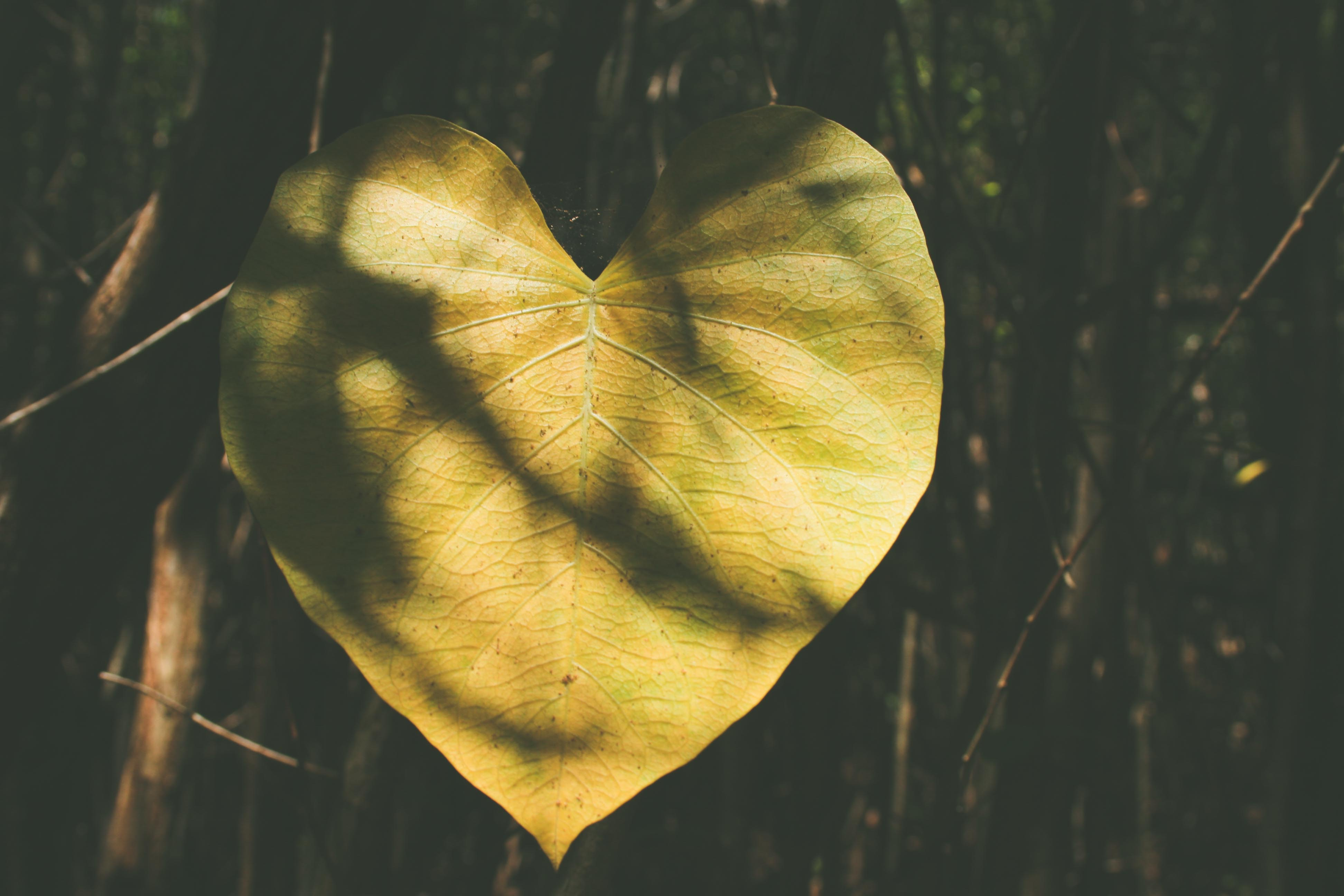 A close-up of a yellow heart-shaped tree leaf