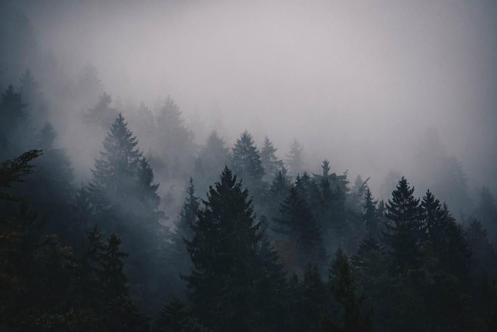 silhouette of pine trees photo