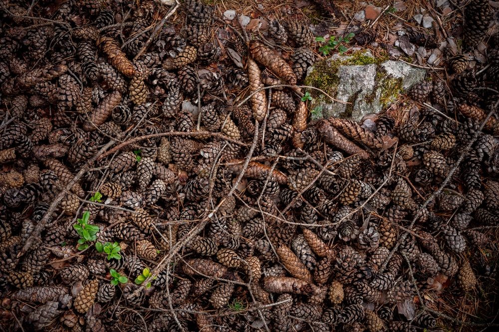 brown and grey pinecones lot