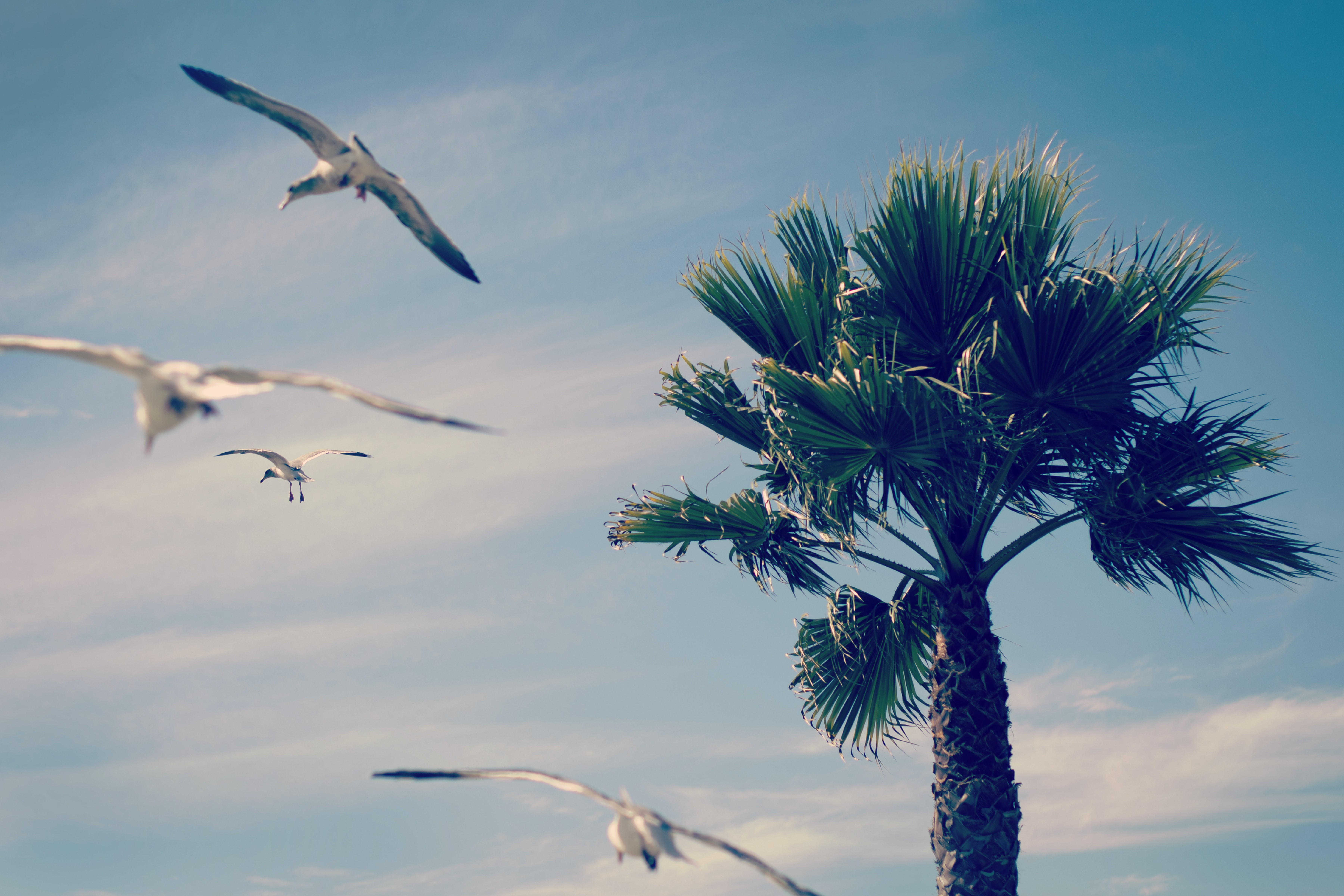 Seagulls flying by a palm tree at Shell Beach