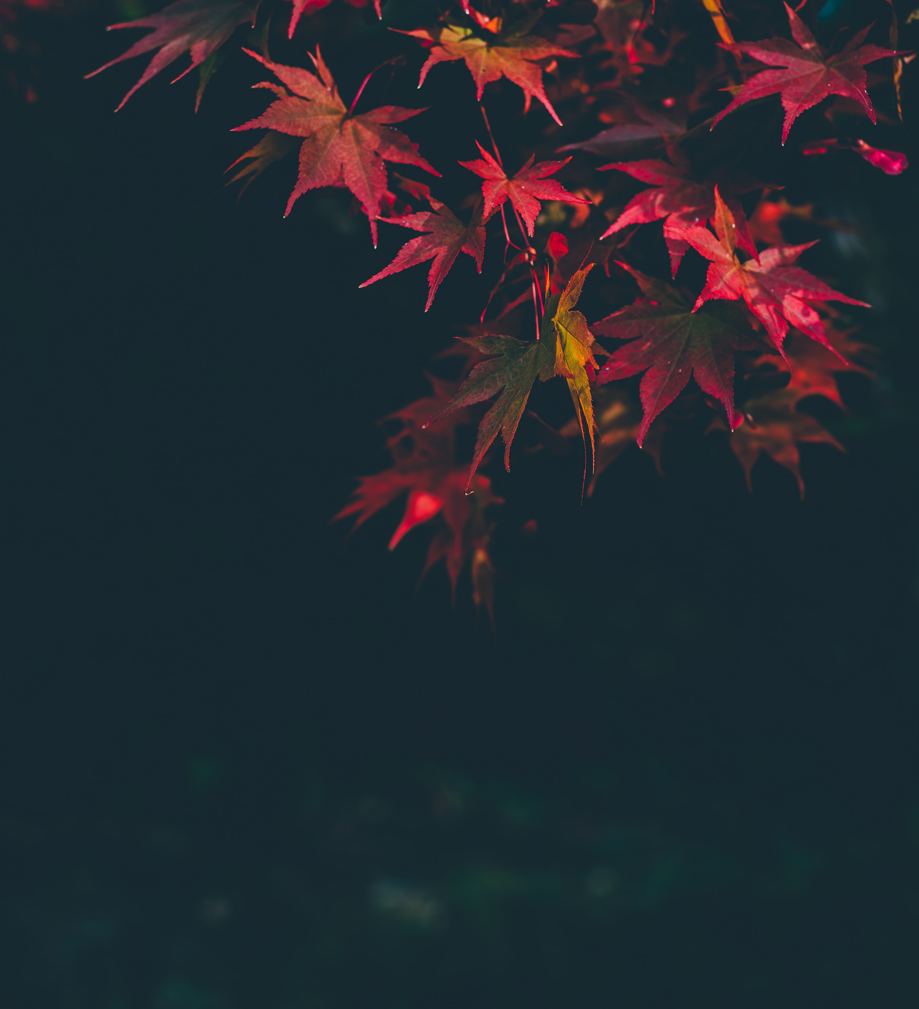 selective focus photography of red maple leafed tree