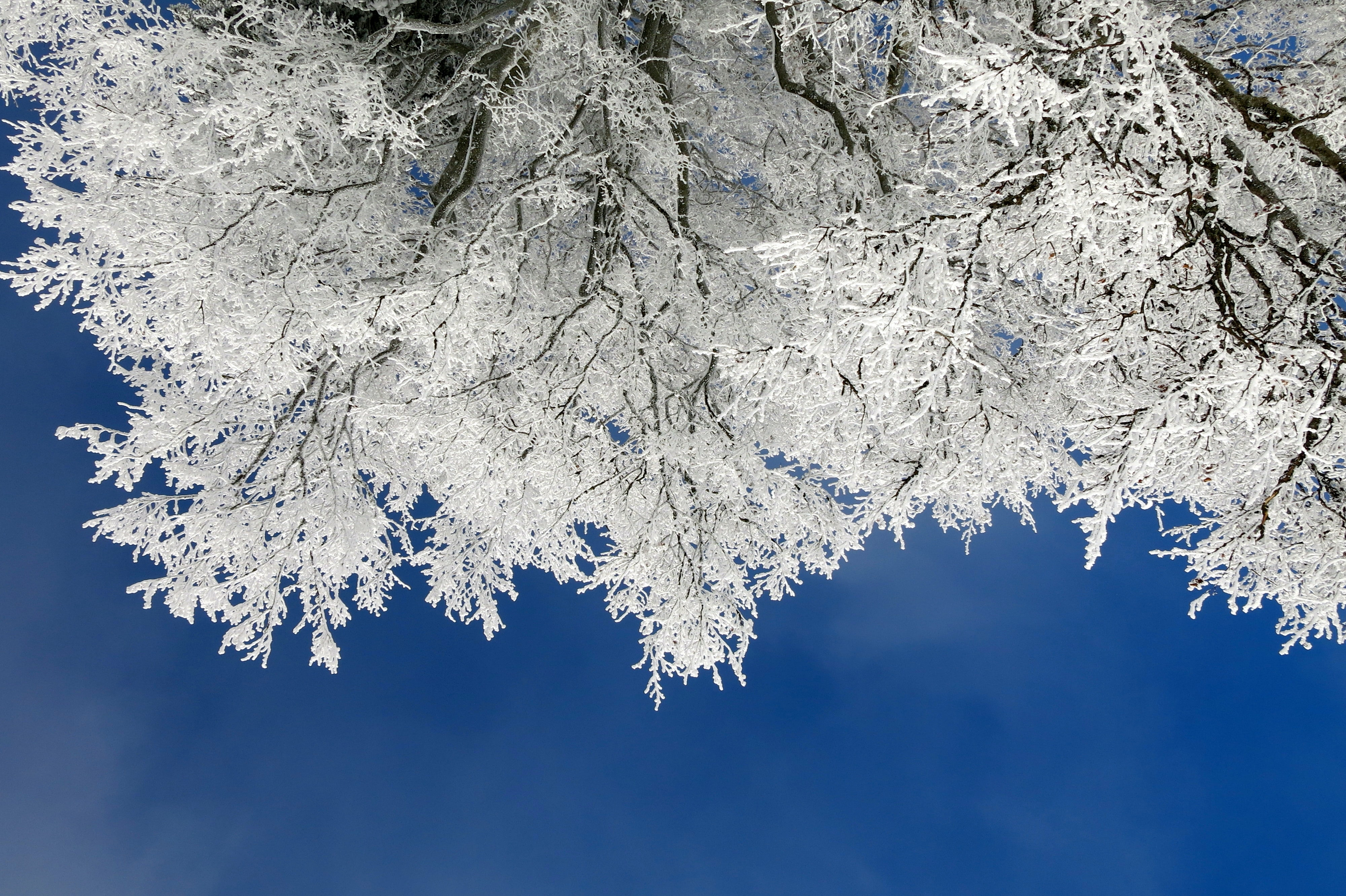 Beneath a tree with snow covering its branches and leaves and a dark blue sky in the background