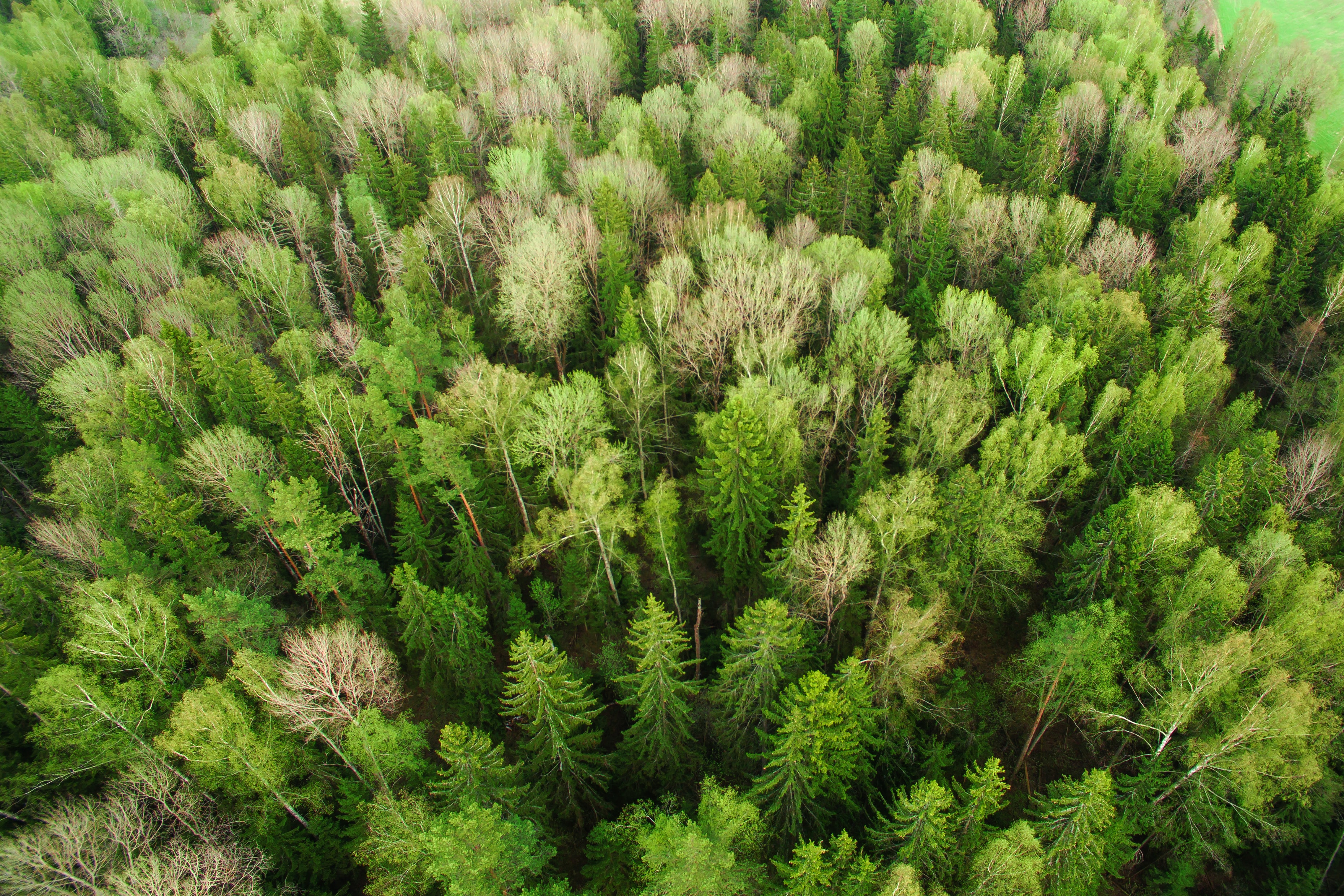 A drone shot of a green forest in Russia