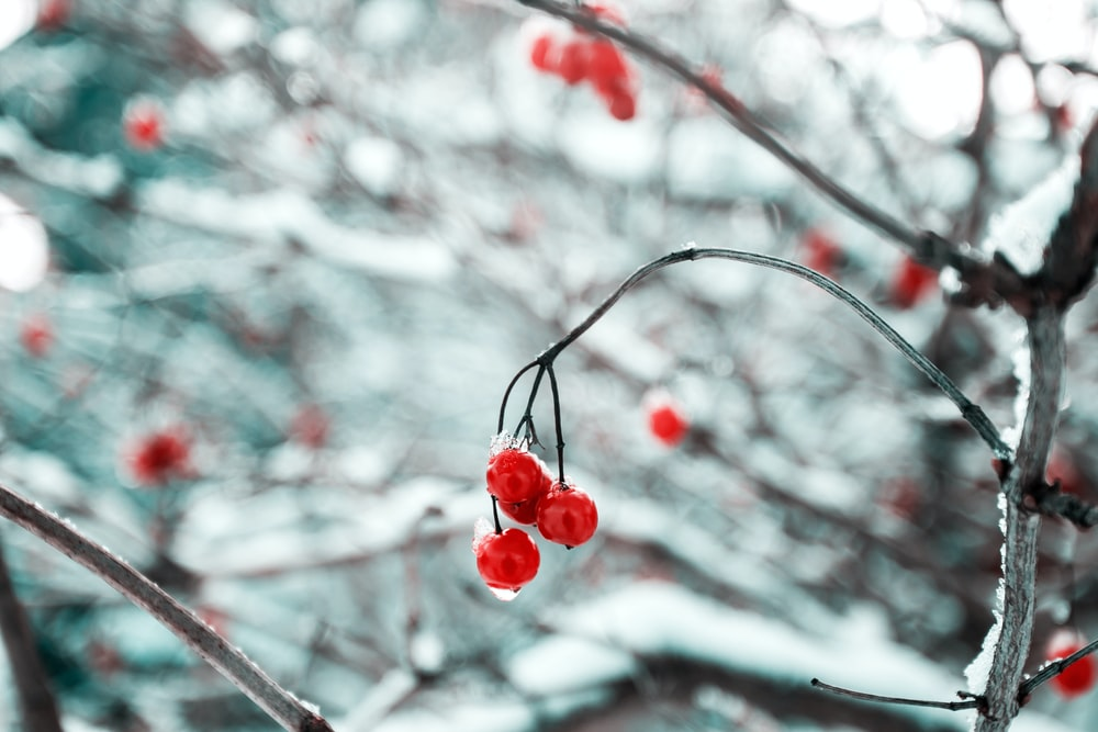 depth of field photography of red cherry fruits