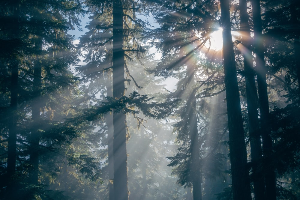 green trees with sun rays