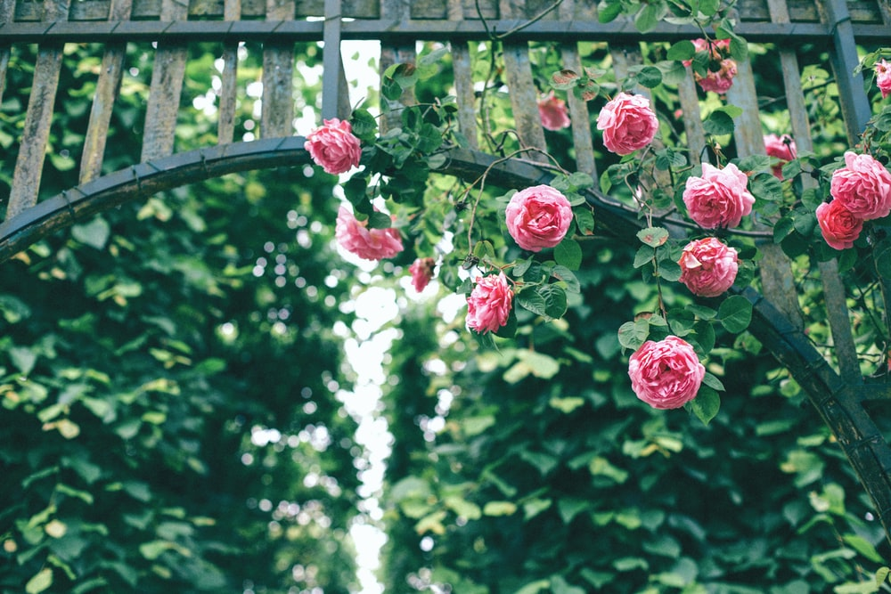 pink roses hanging on wooden arch