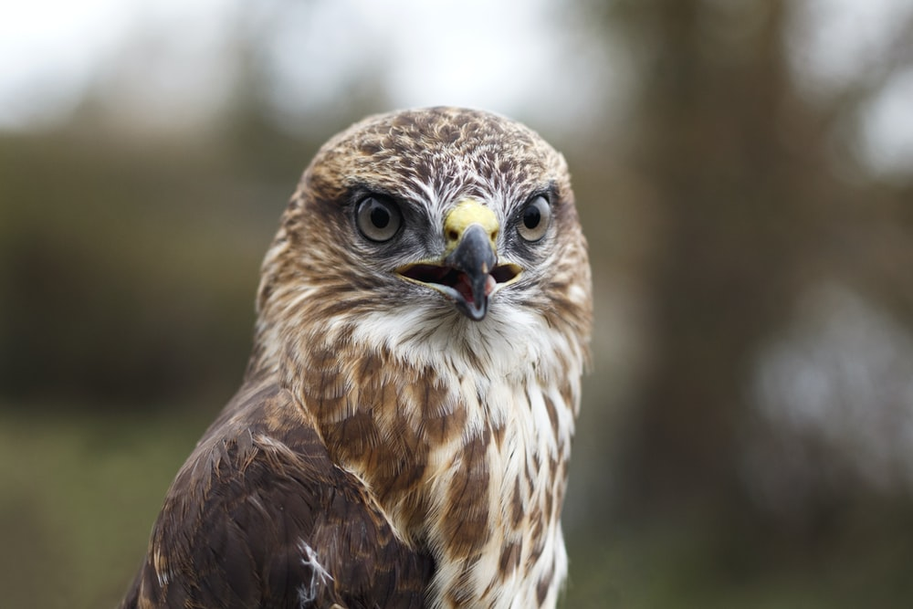 brown and white eagle