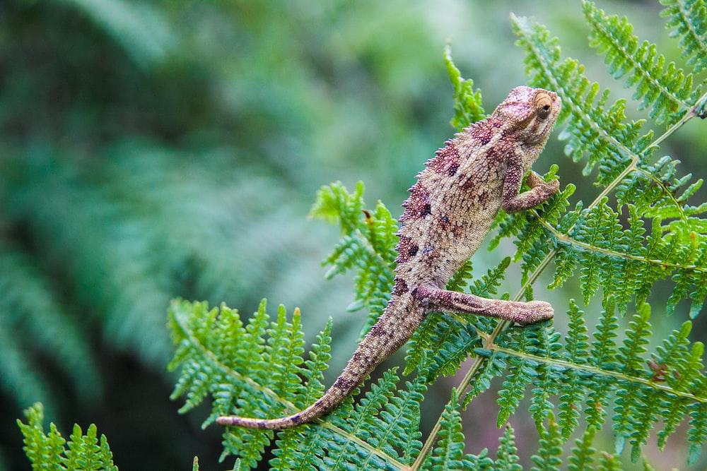 brown chameleon on green leaf