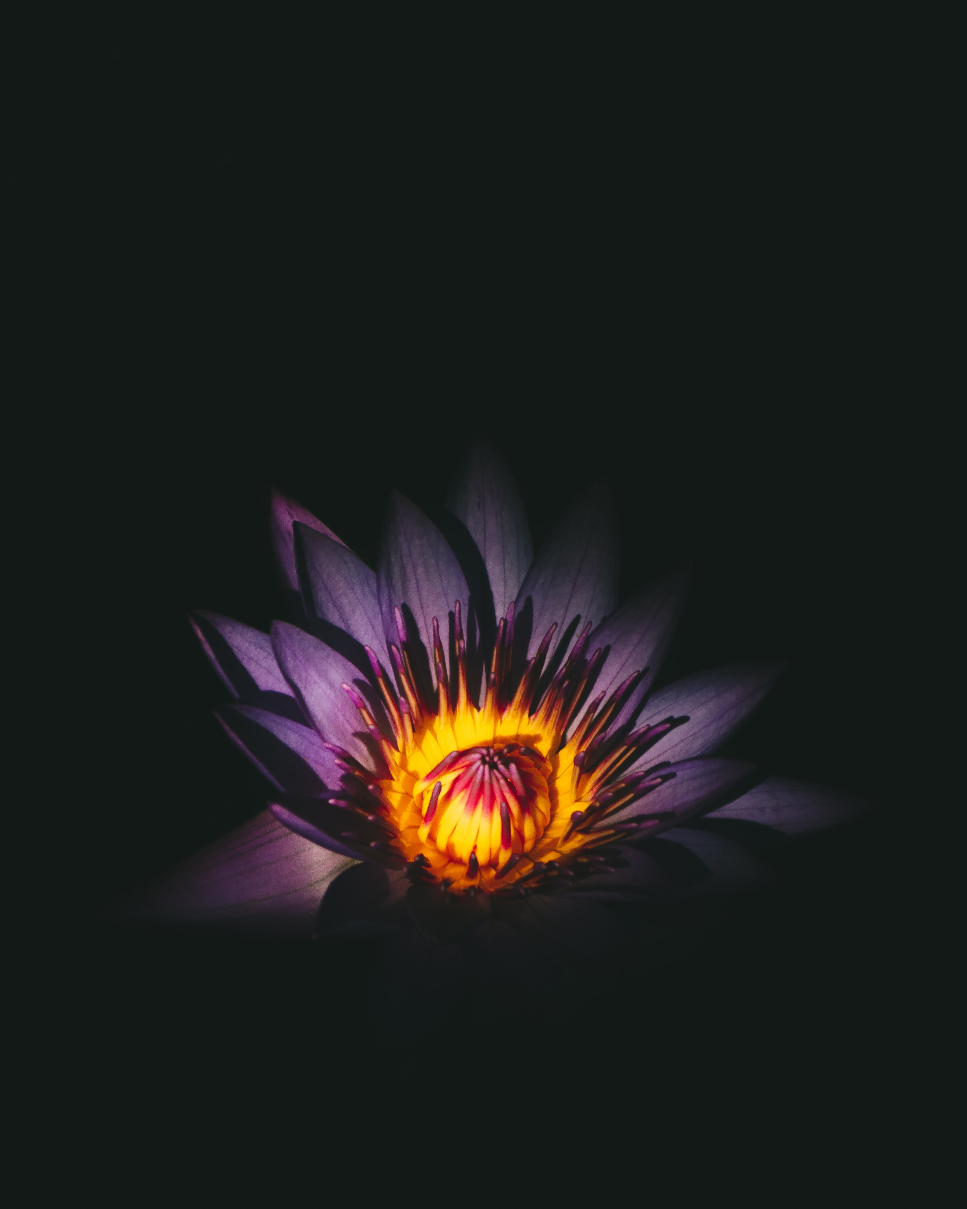 A close-up of a dark purple flower with a yellow center against a black background