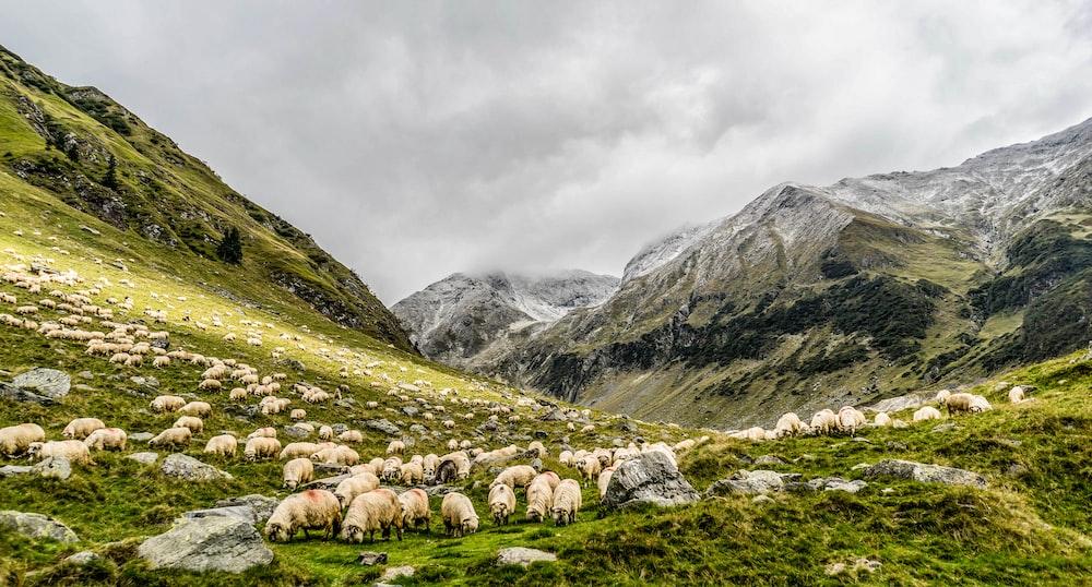 herd of sheep feeding on mountain