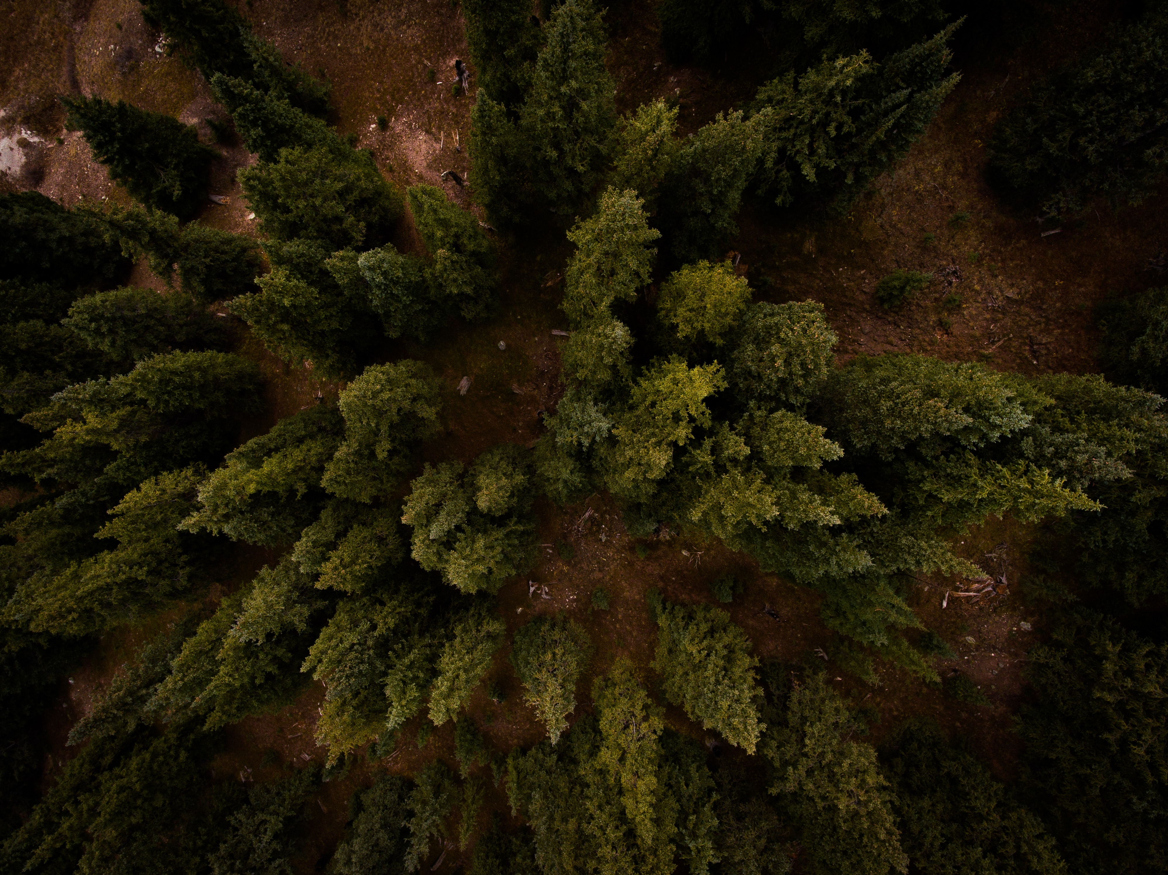A drone shot of a number of coniferous trees on brown ground in Frisco, Colorado