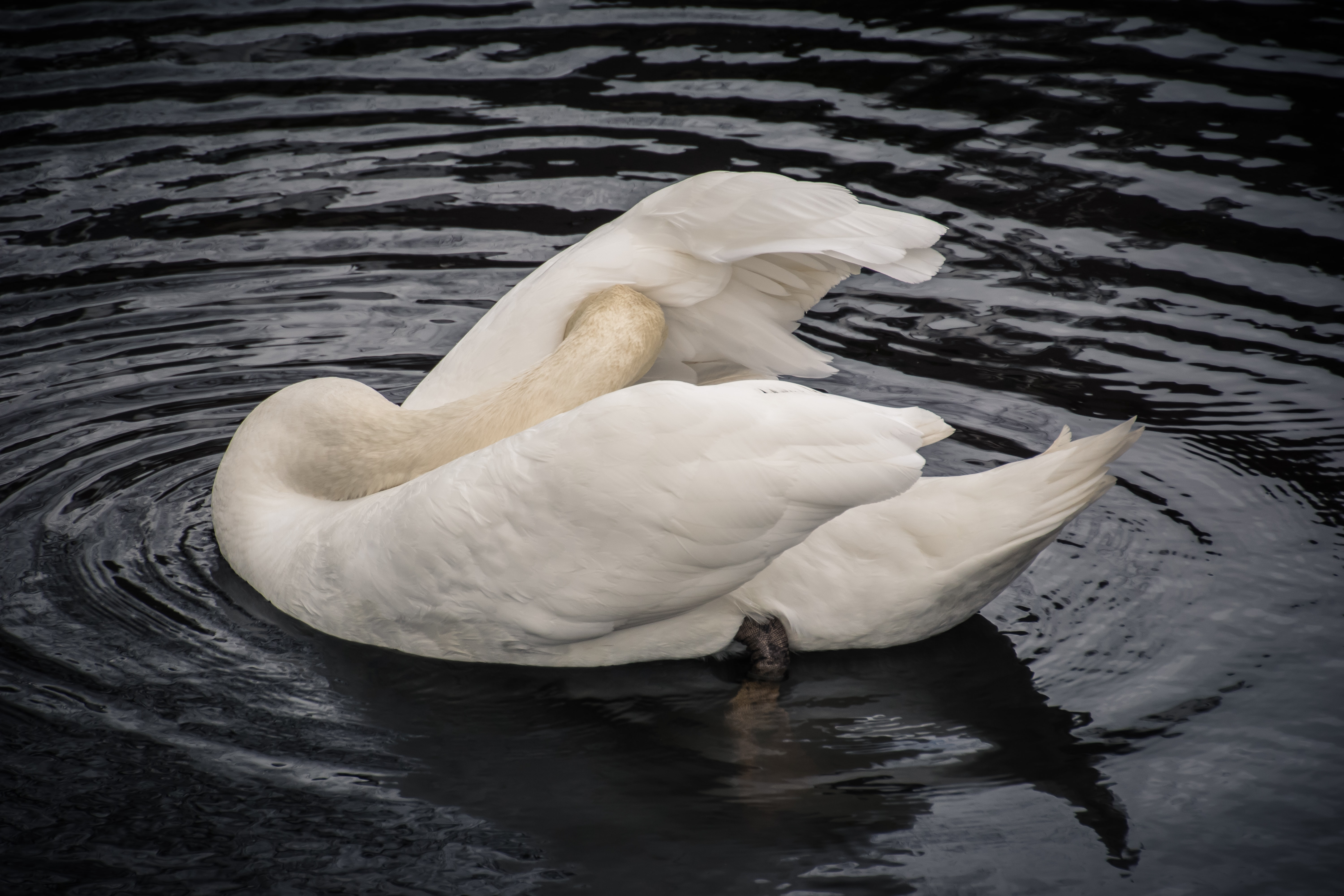 Swan preens its feathers in the water
