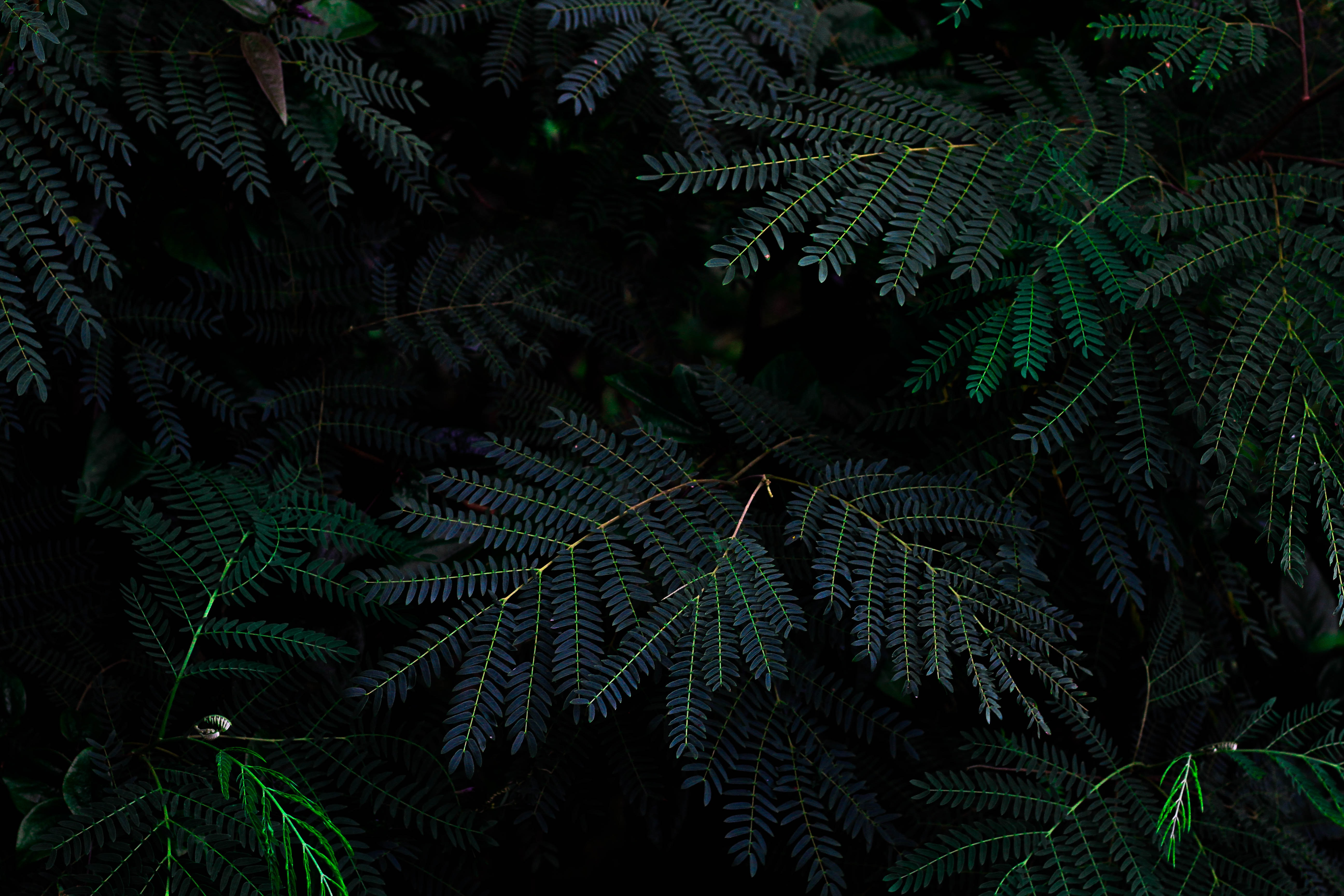 Up close photo of dark green pine tree limbs in a forest