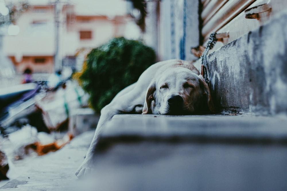 adult yellow Labrador retriever dog sleeping on gray concrete stepway