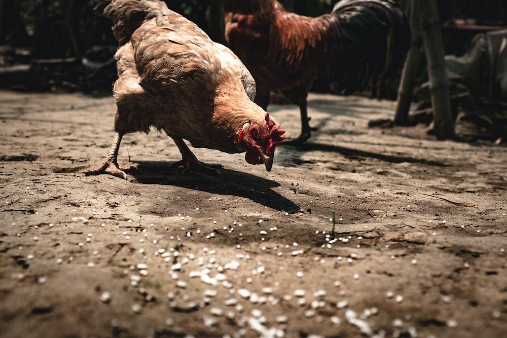 brown chicken on brown sand