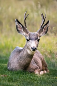 selective focus of brown deer lying on green grass during daytime