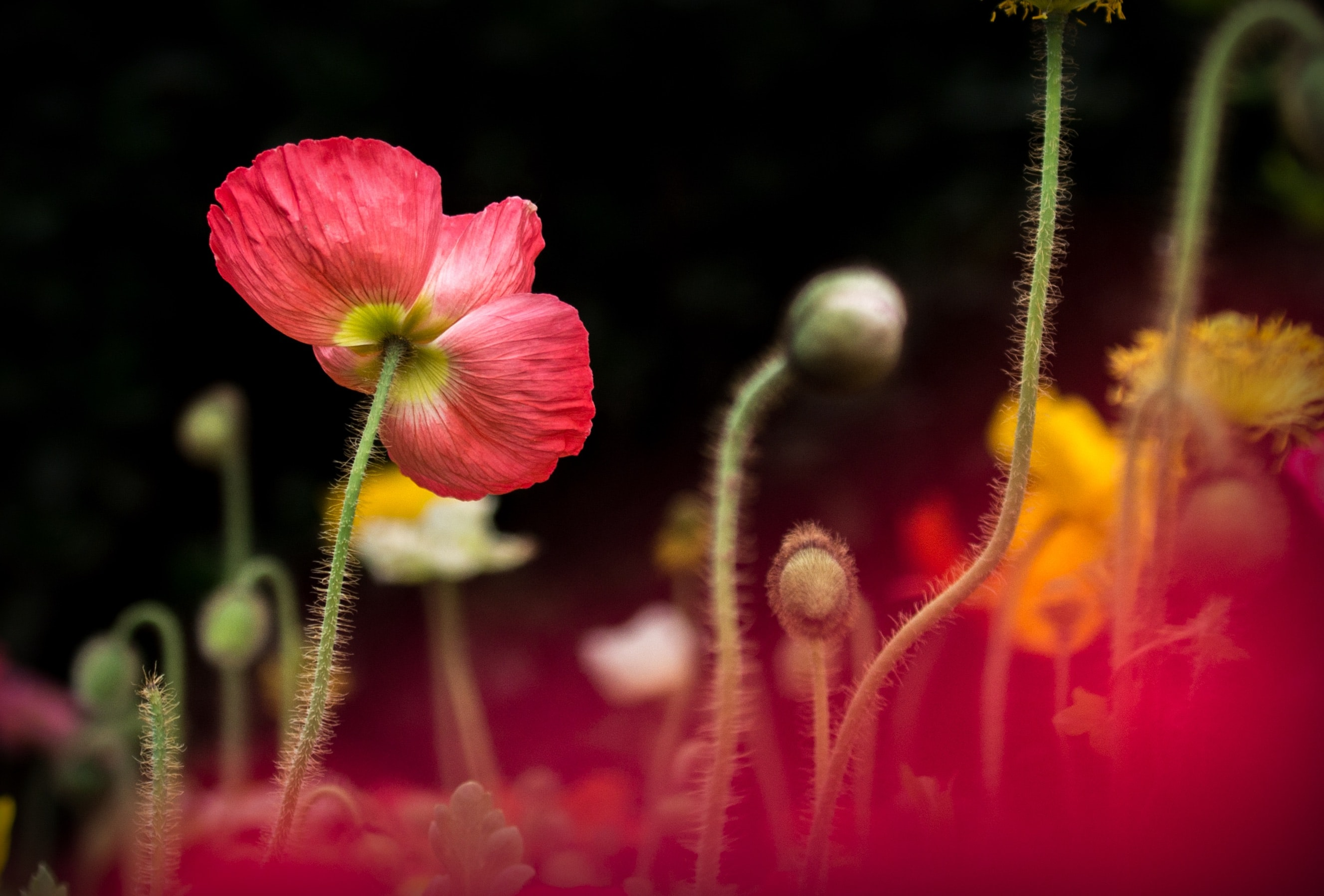 A low-angle shot of poppy flowers on long hairy stems