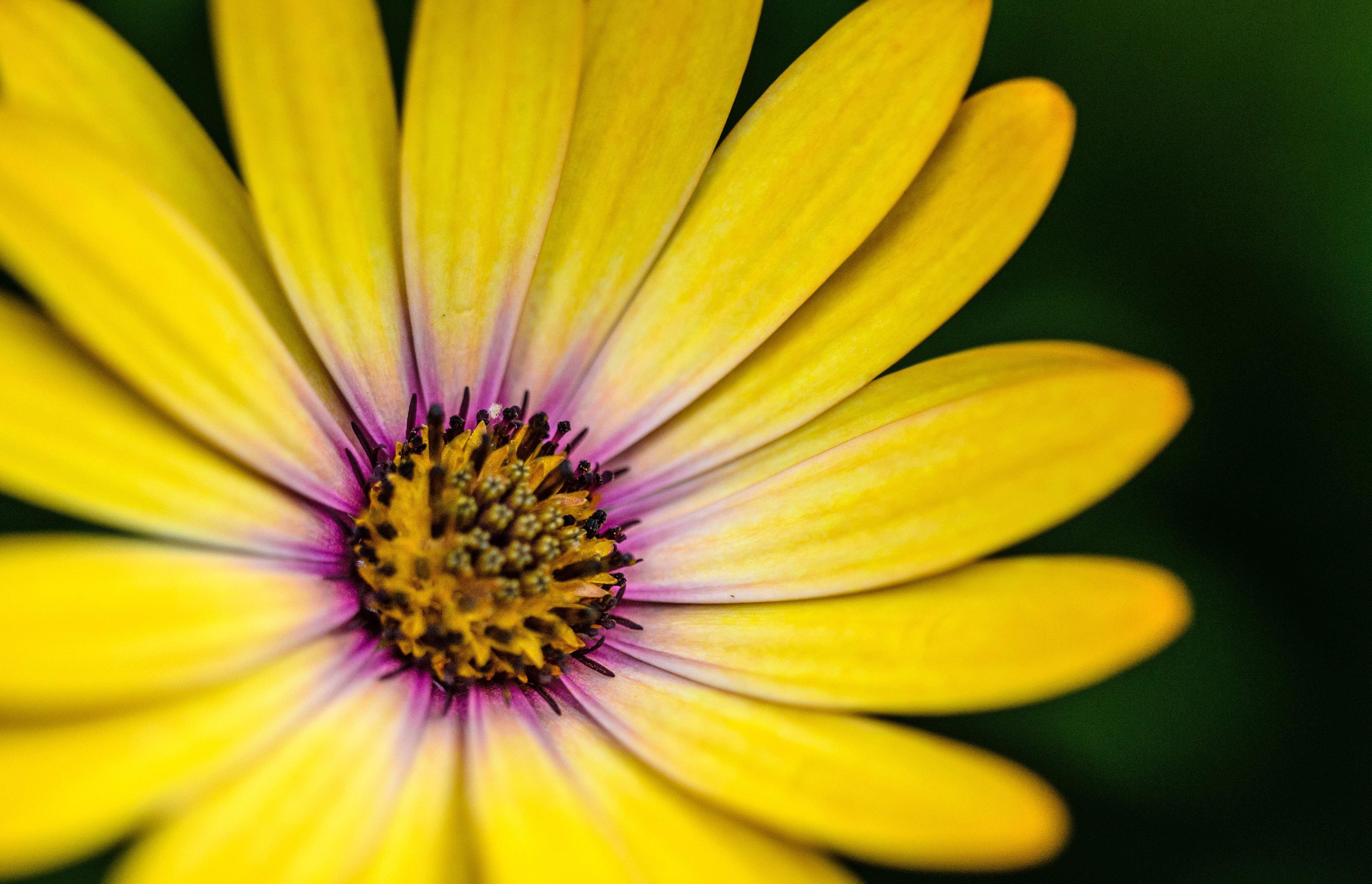 A macro shot of a yellow flower with a purple tint around its center