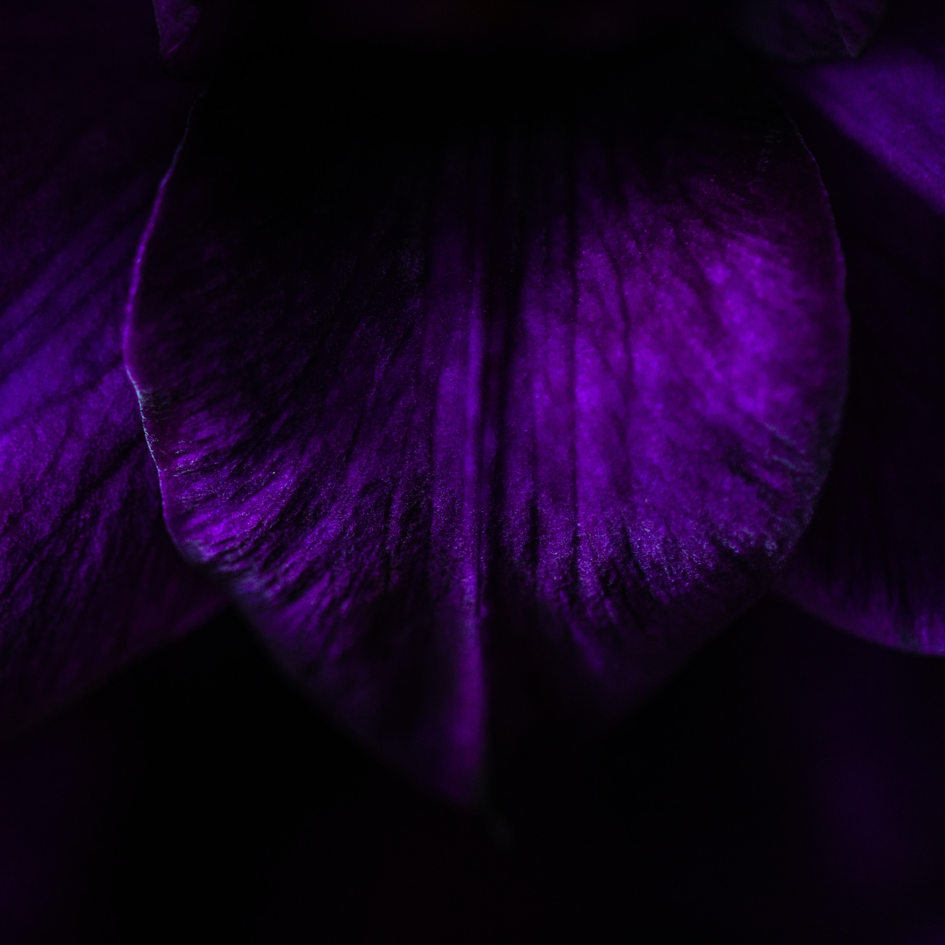 purple flower petal
