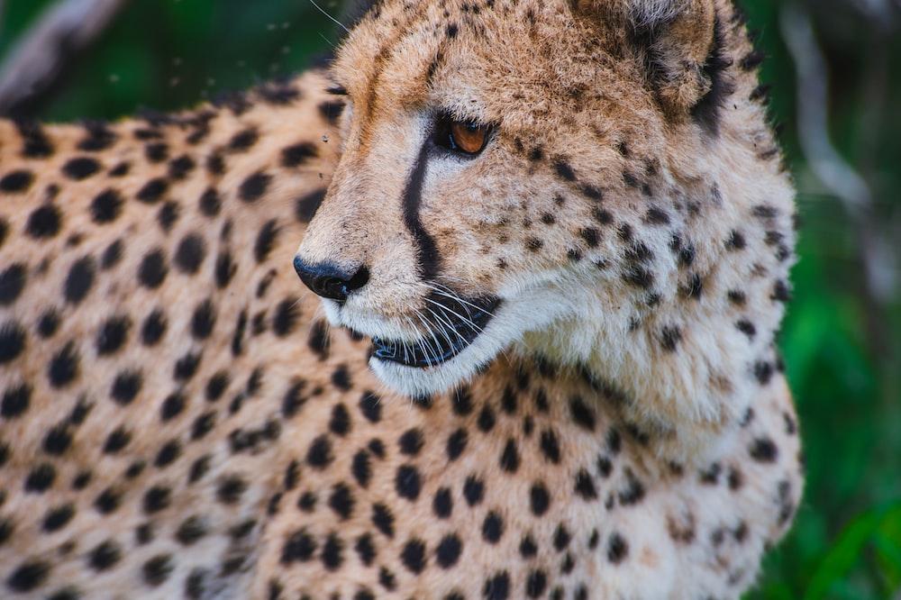 selective focus photography of Cheetah