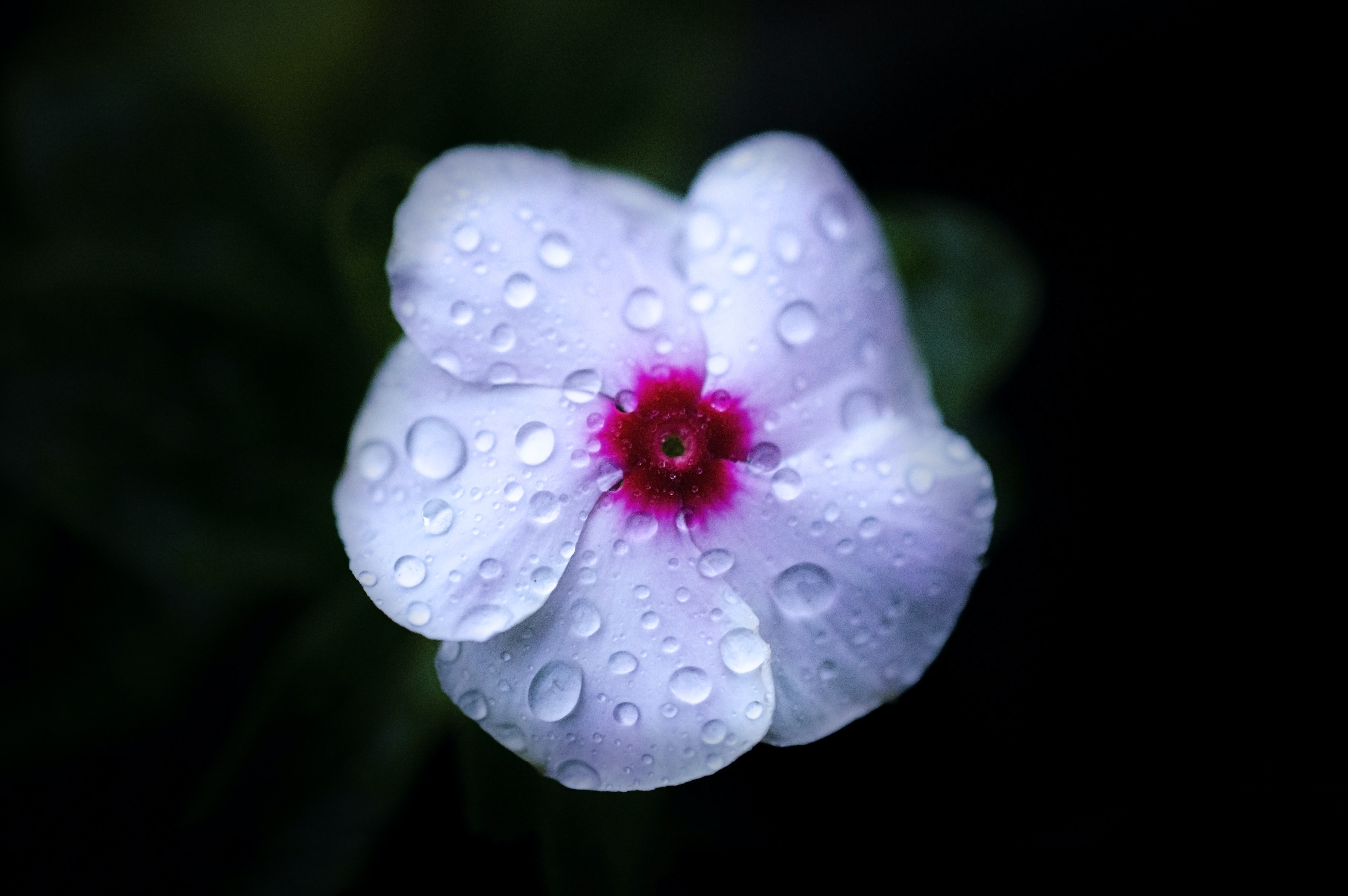 Close-up of a white flower with a red centre covered in droplets of water