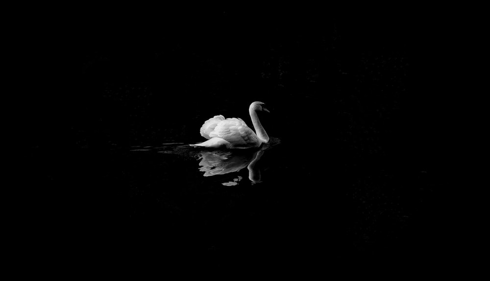 mute swan in low light photography