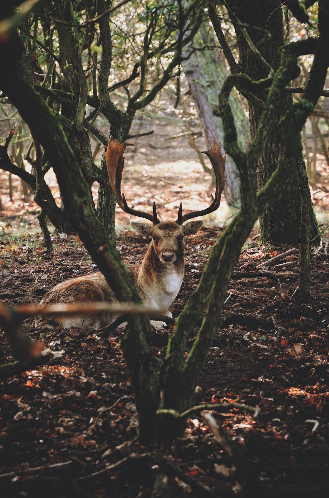 Serene elk