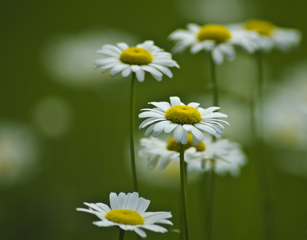 selective focus photography of white-and-yellow daisy flowers