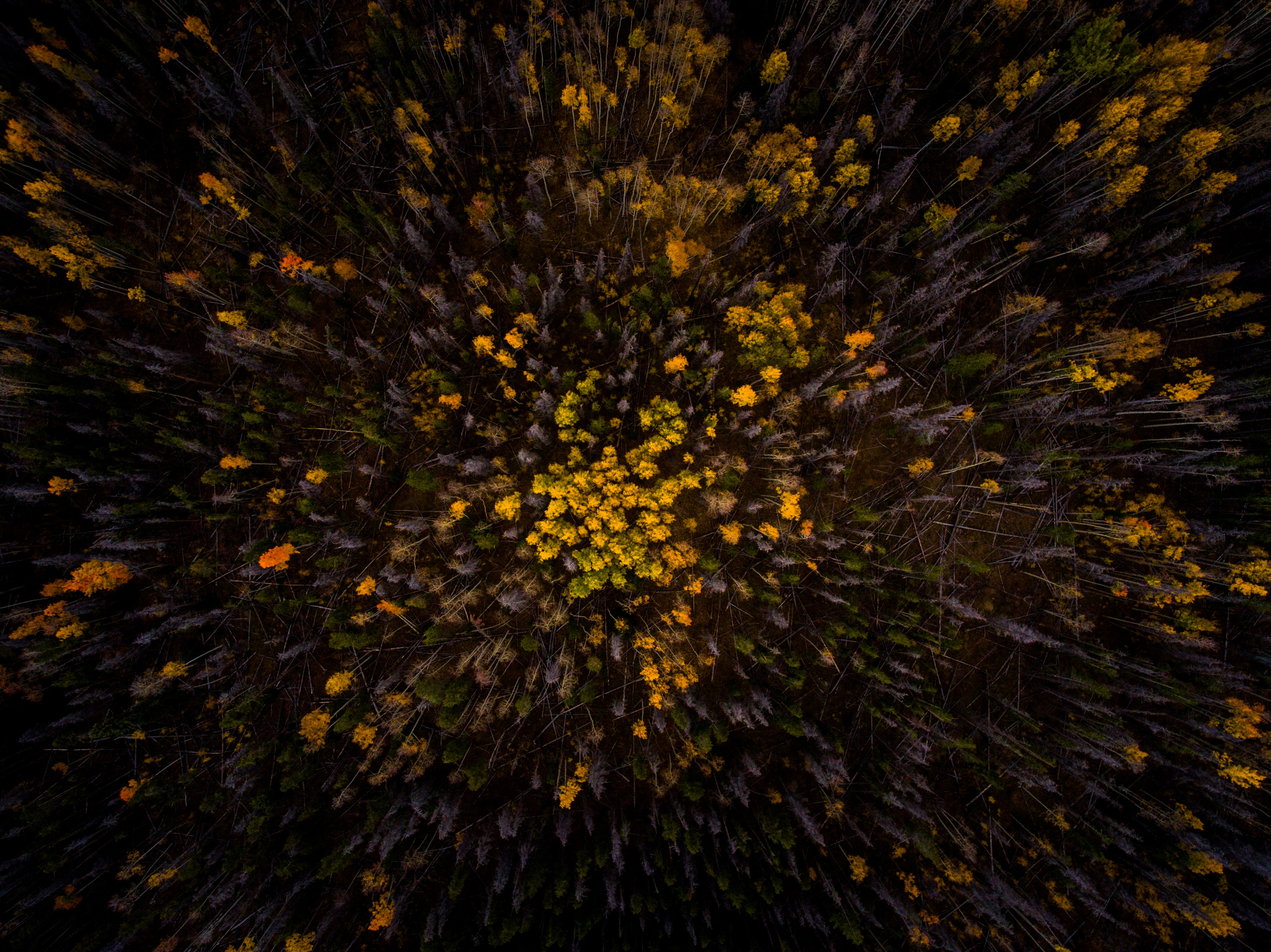 A drone shot of a forest full of gray and yellow trees in Silverthorne