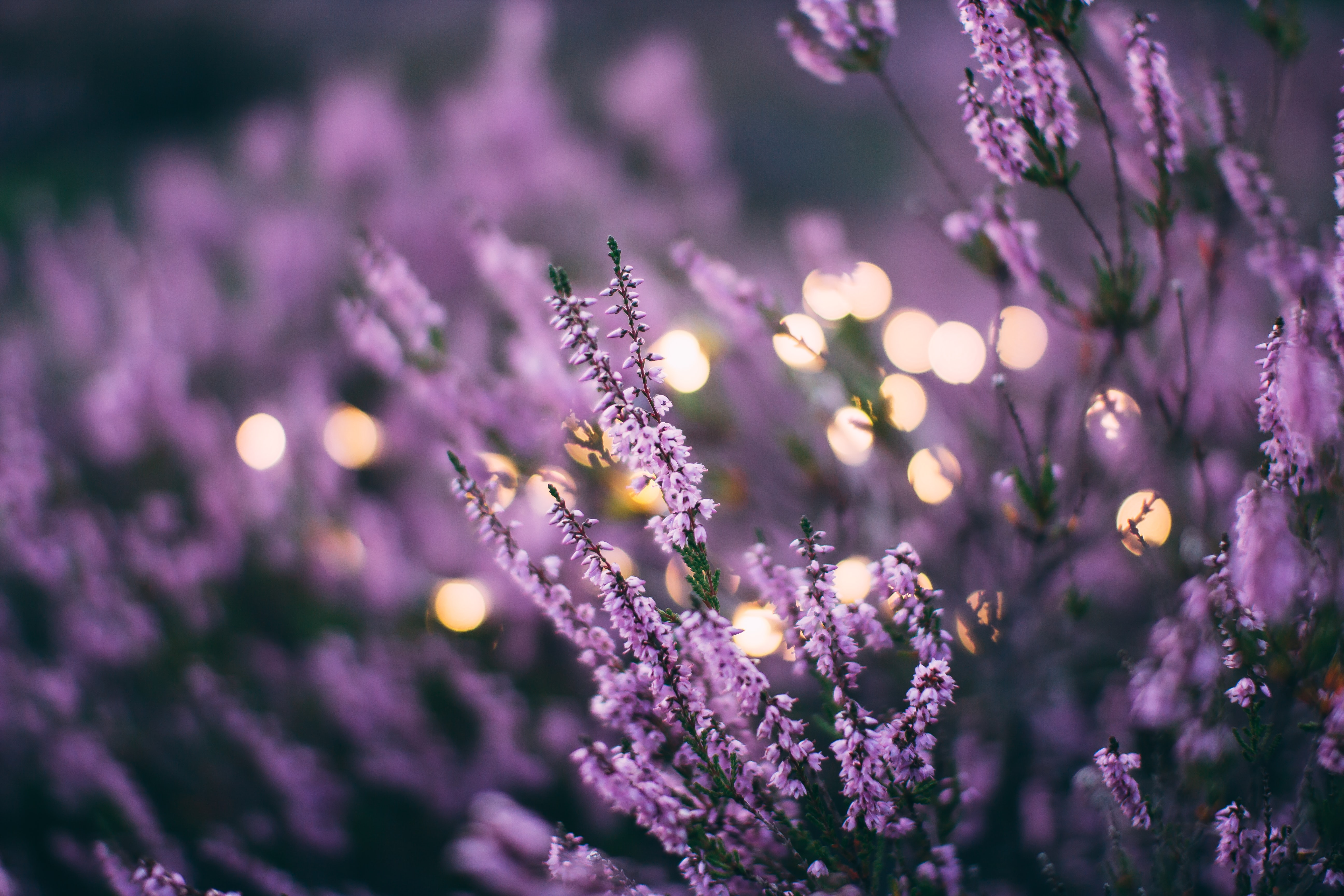 A large patch of lavender flowers with bokeh effect in the background