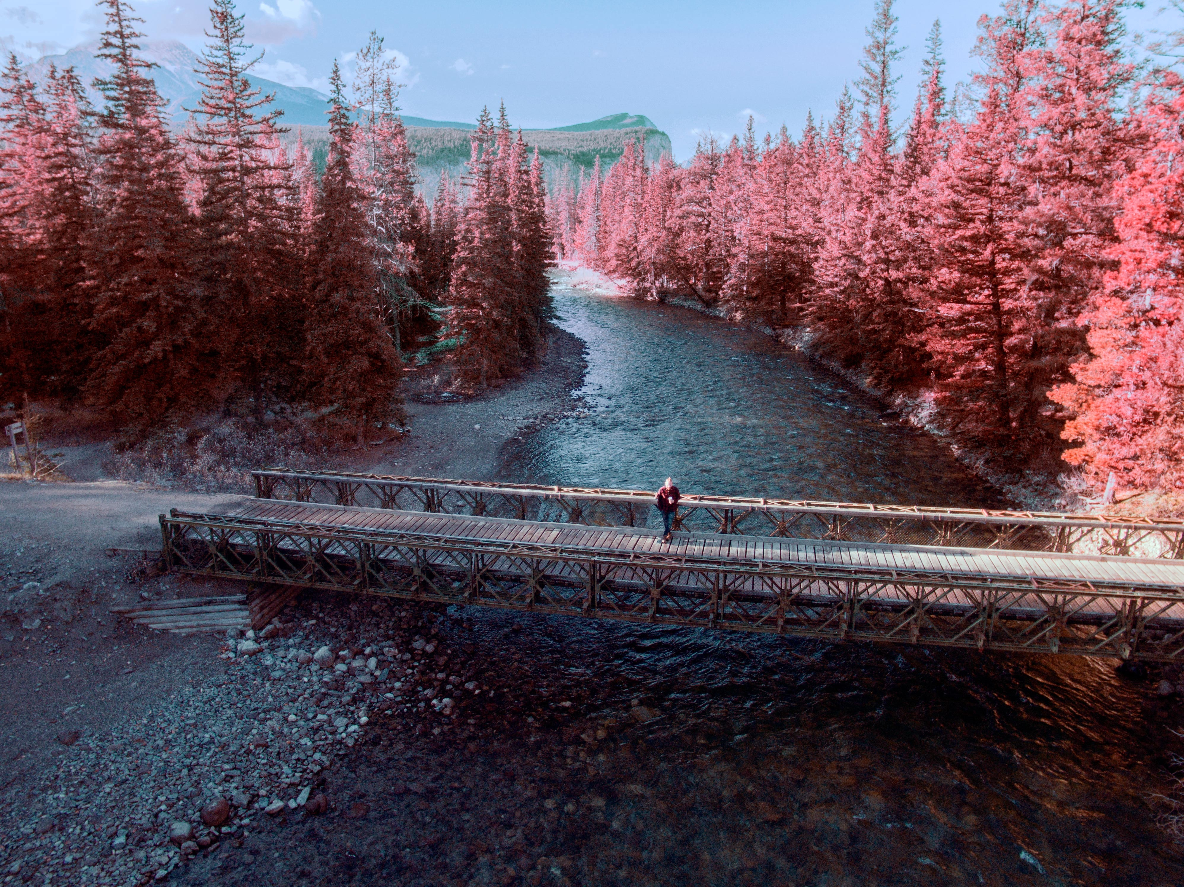 A person standing on a footbridge over a stream, surrounded by pink trees in Jasper