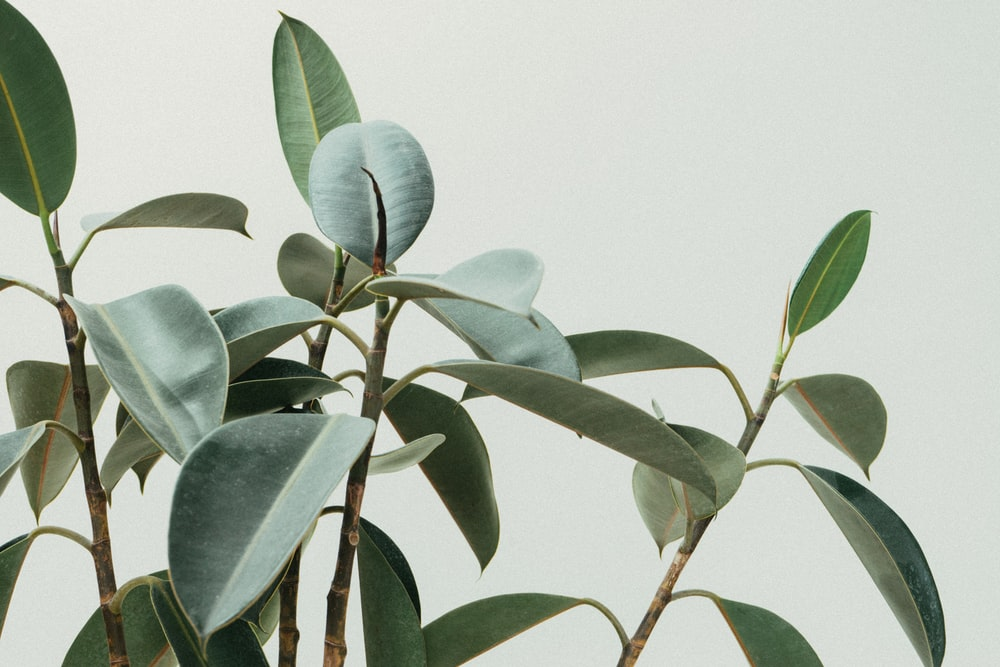 green rubber fig plant