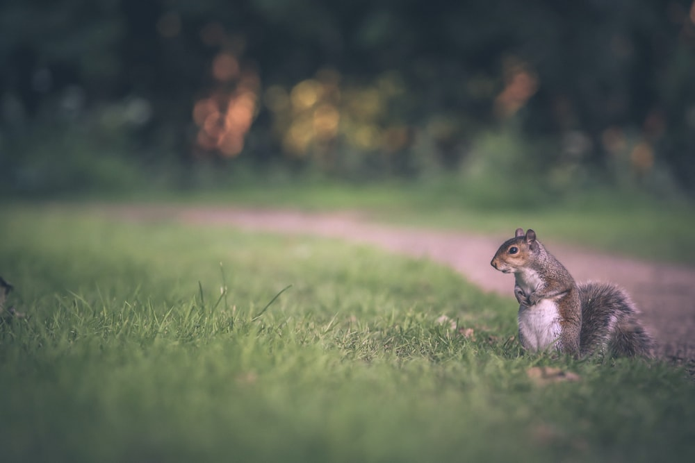 selective focus of gray squirrel on green grass field