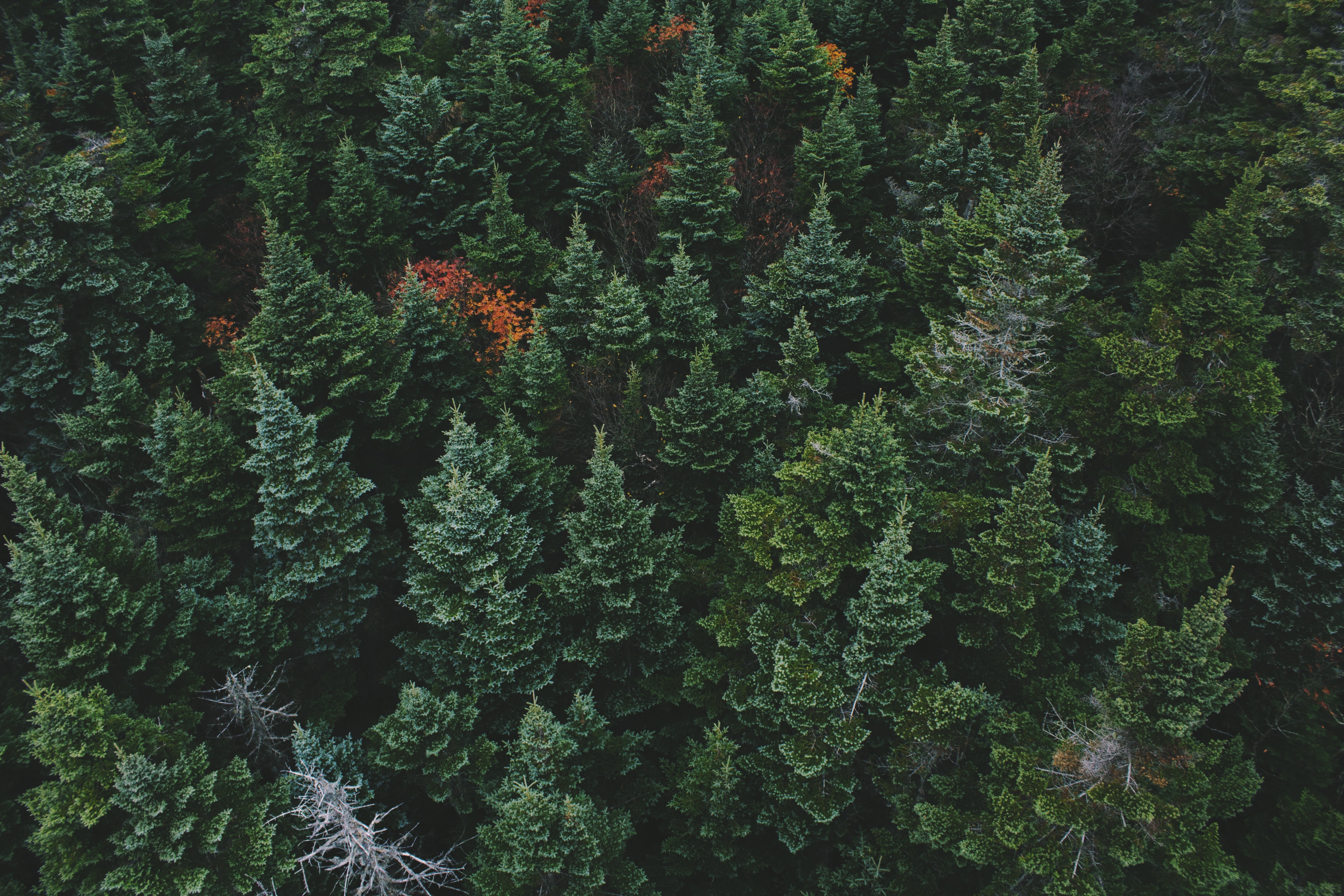 A drone shot of the treetops in a coniferous forest