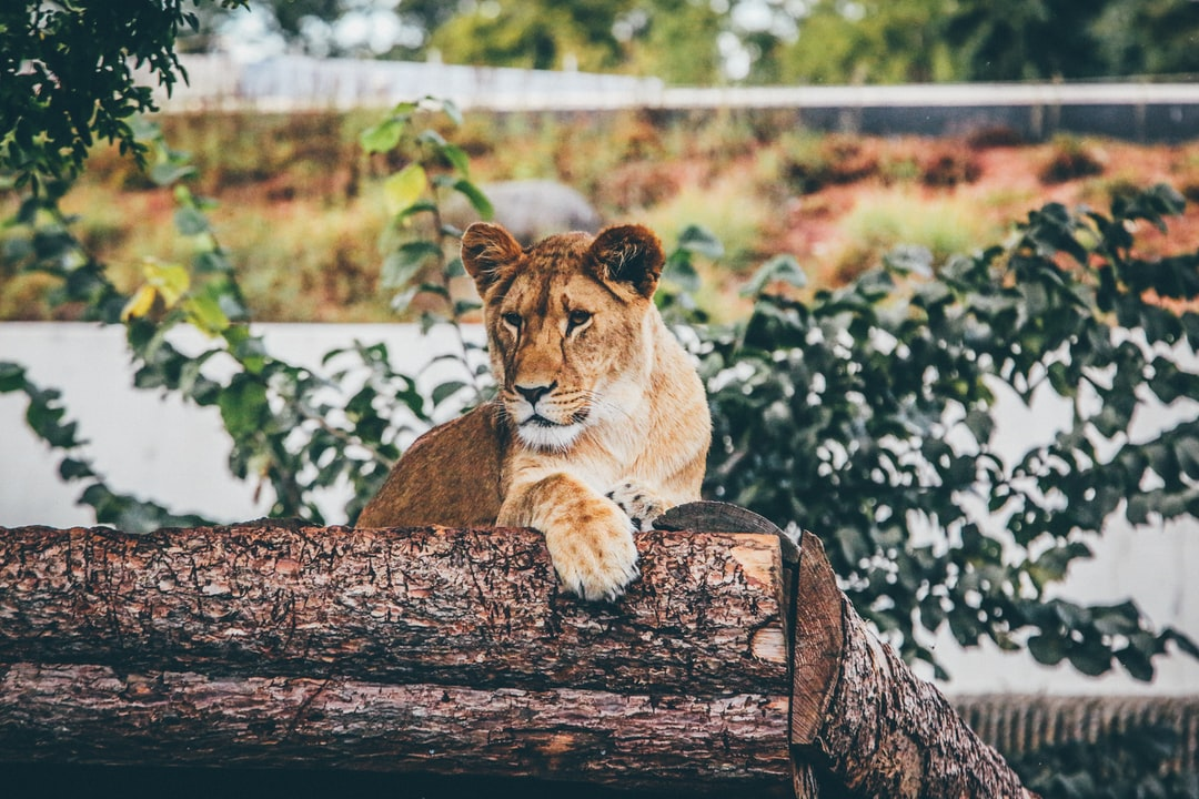 Lioness on logs
