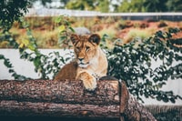 brown lioness laying on tree stem