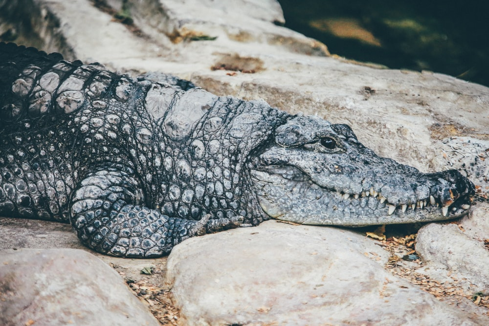 gray crocodile