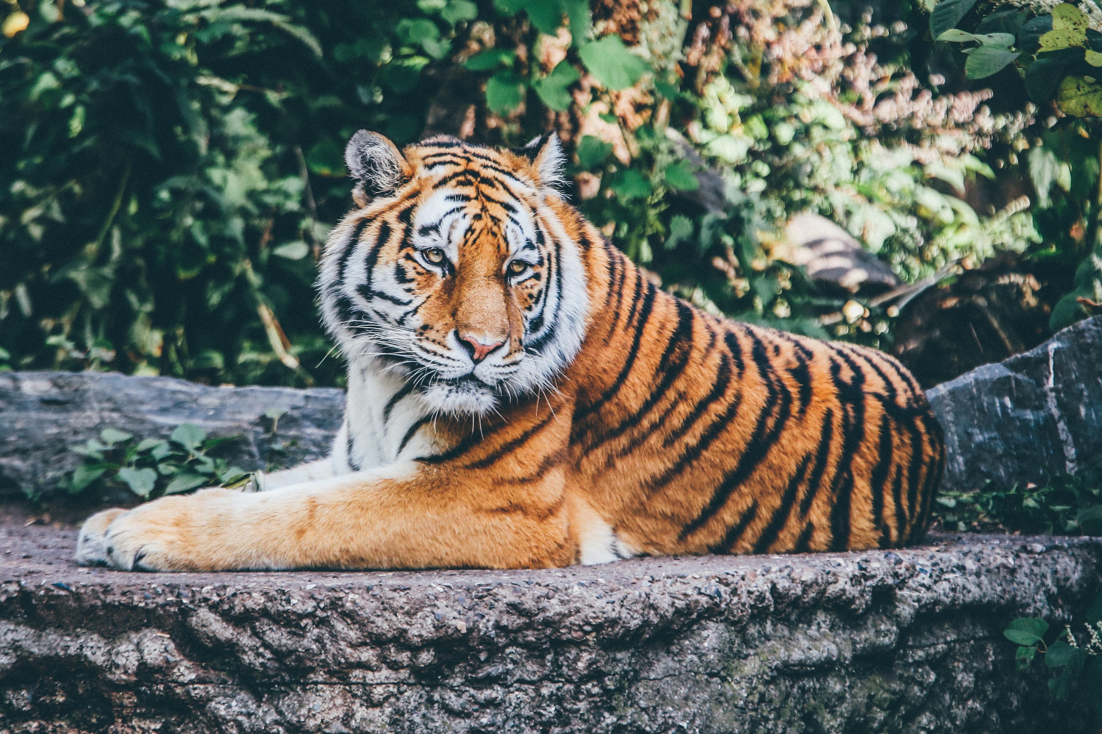 orange tiger on grey concrete flooring