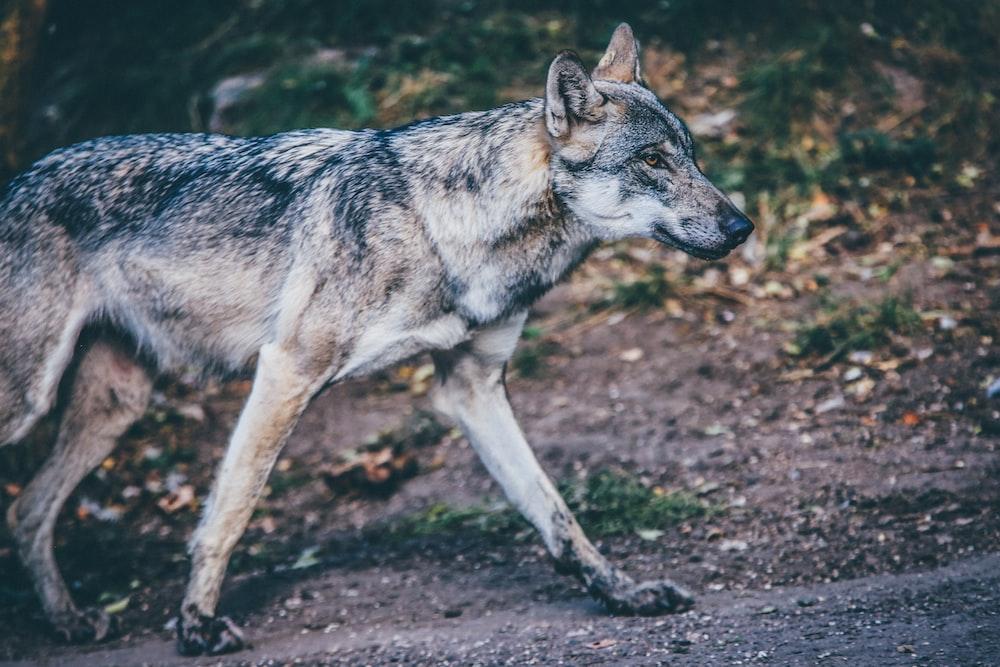photo of standing gray wolf