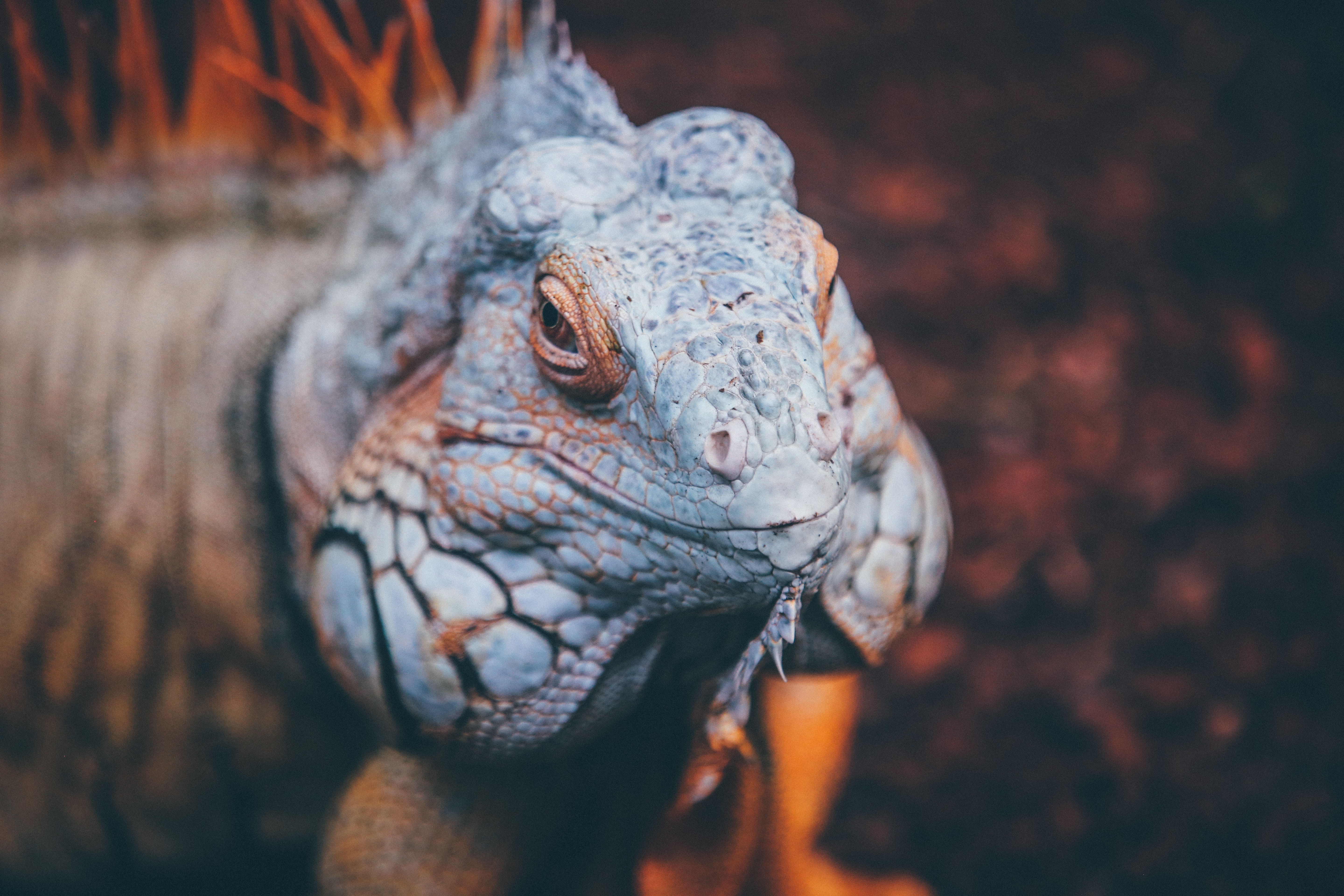 Scaly reptile macro turning its head