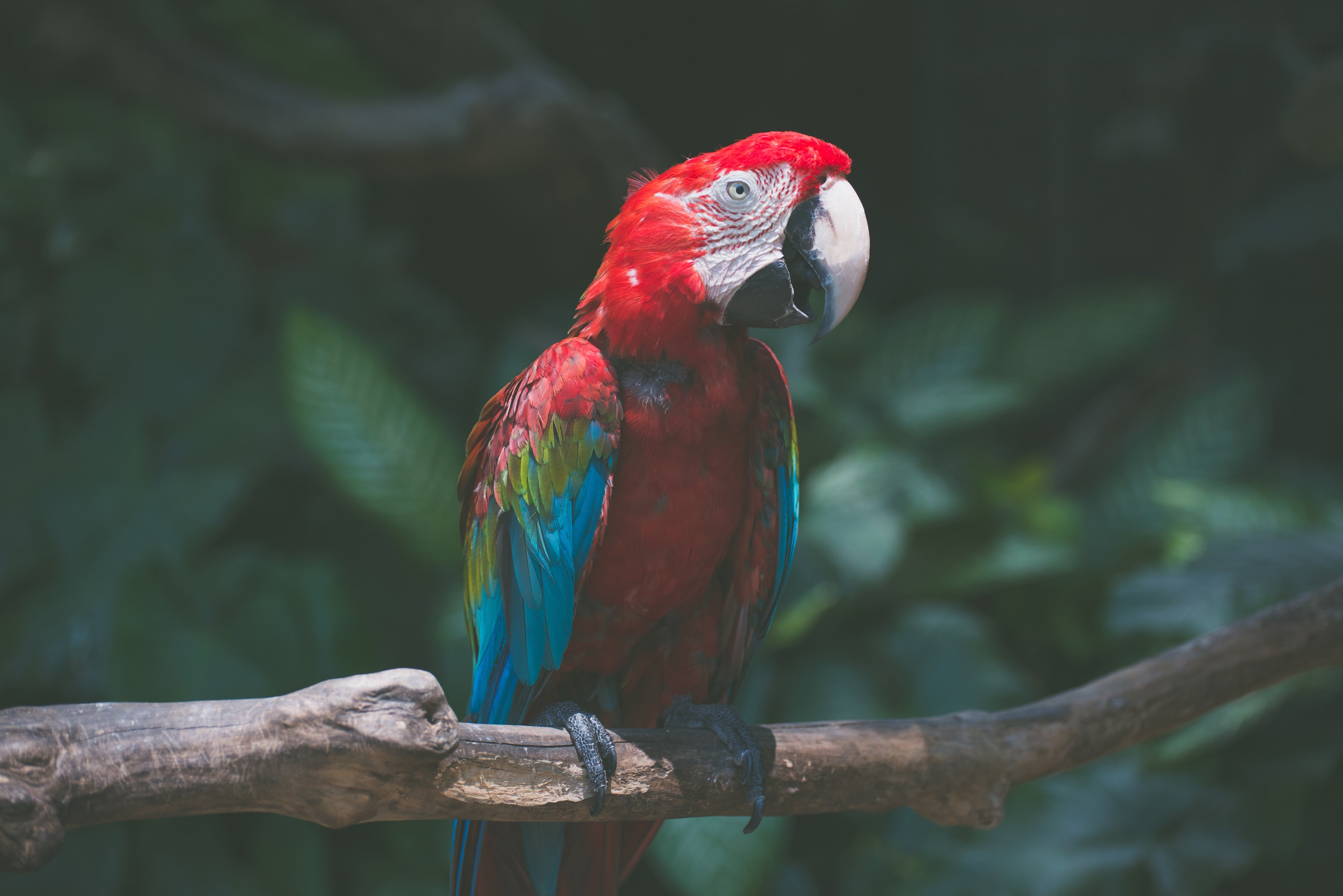 red-and-blue bird
