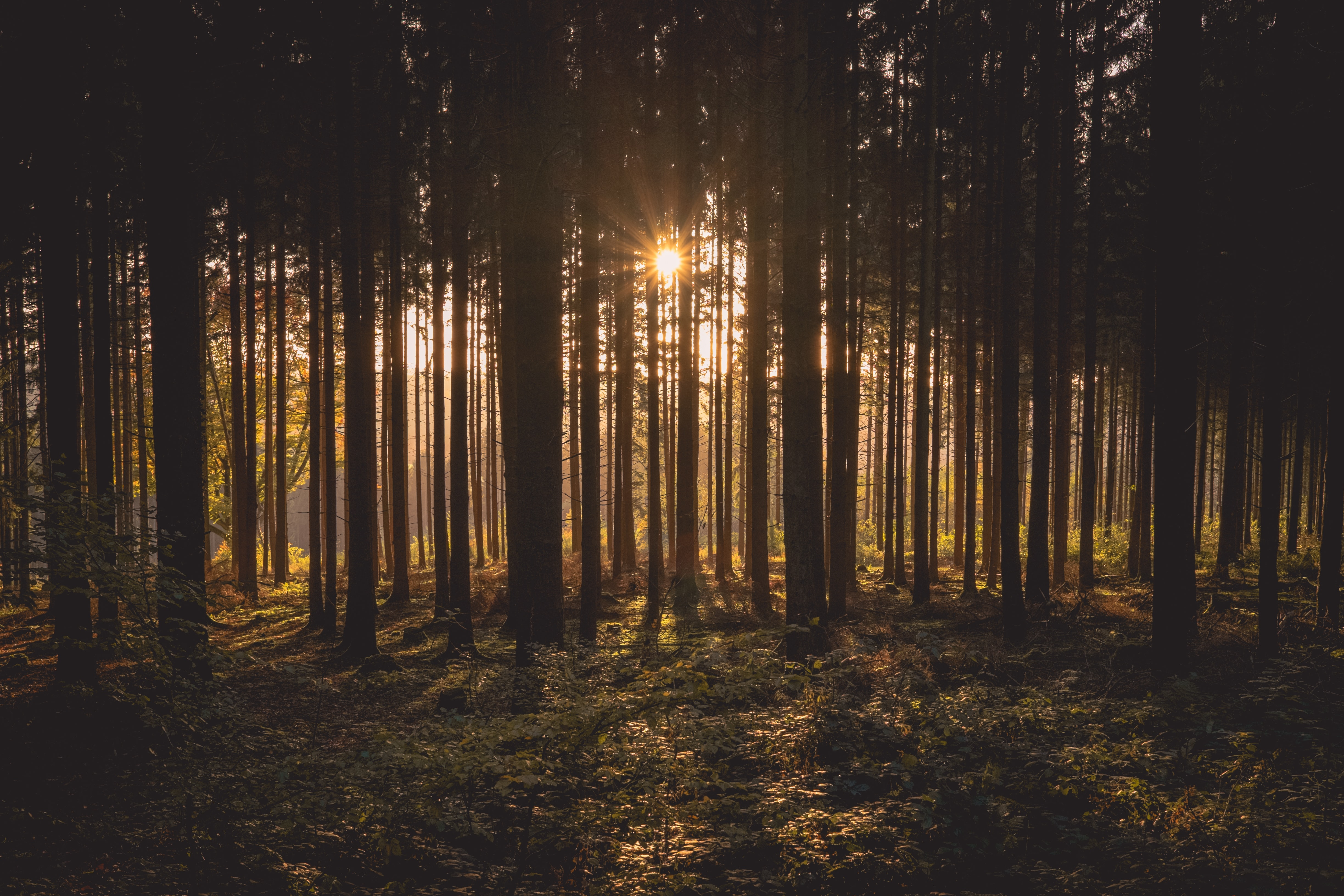 Setting sun shining through the tall trees in a thick forest