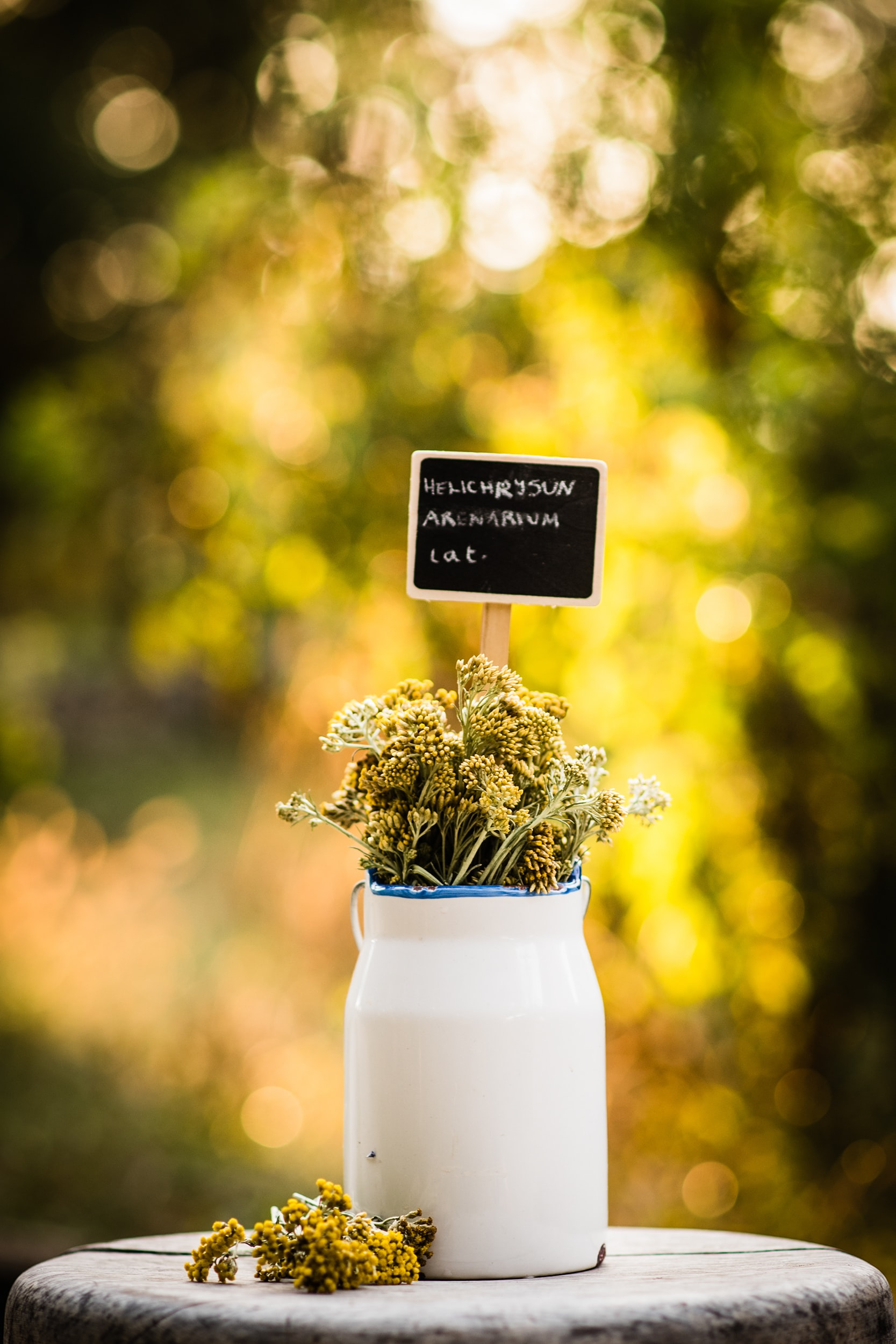 A white vase with dwarf everlast flowers and a label with their Latin name