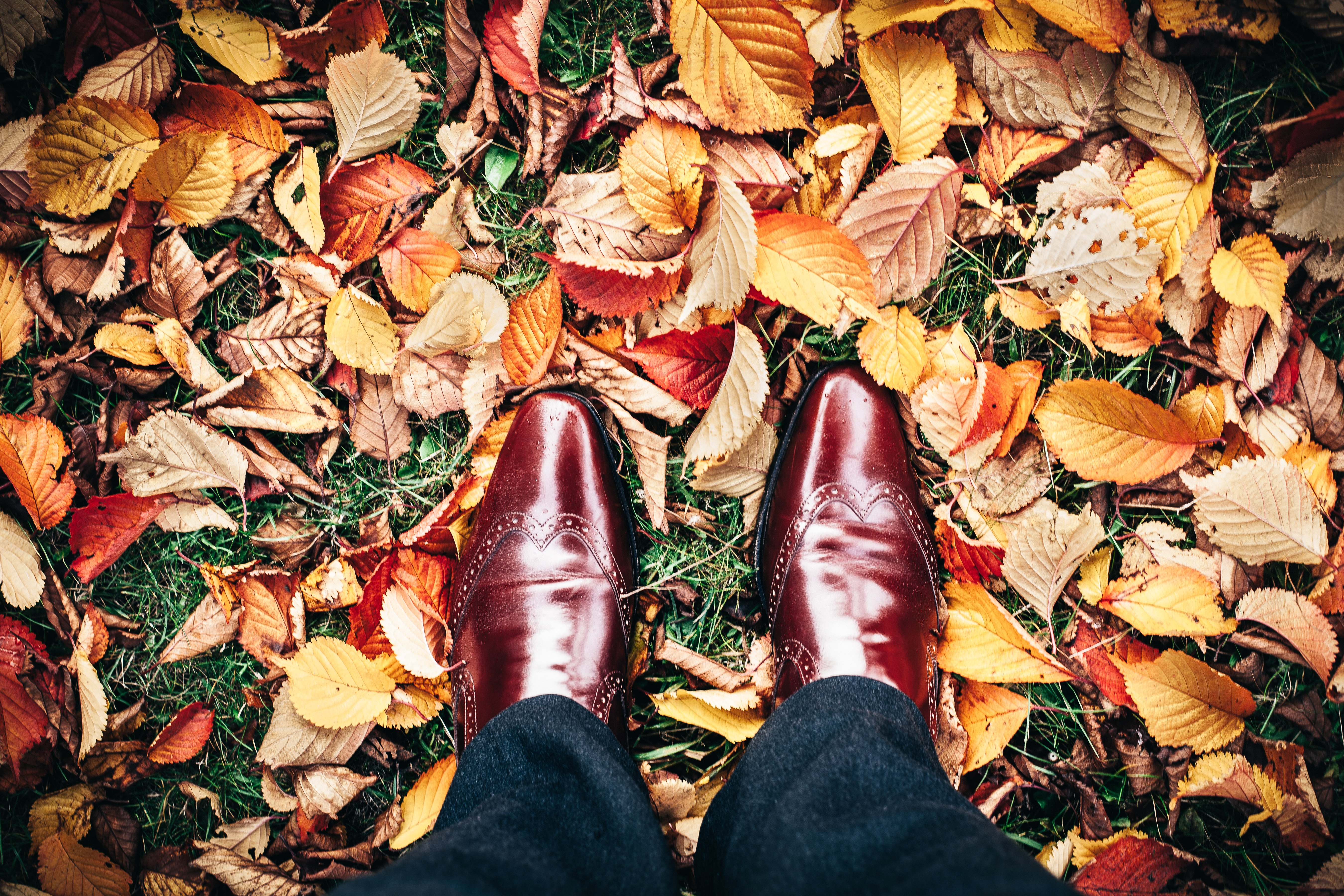 An overhead shot of a person's shiny brown leather shoes on a carpet of autumn leaves