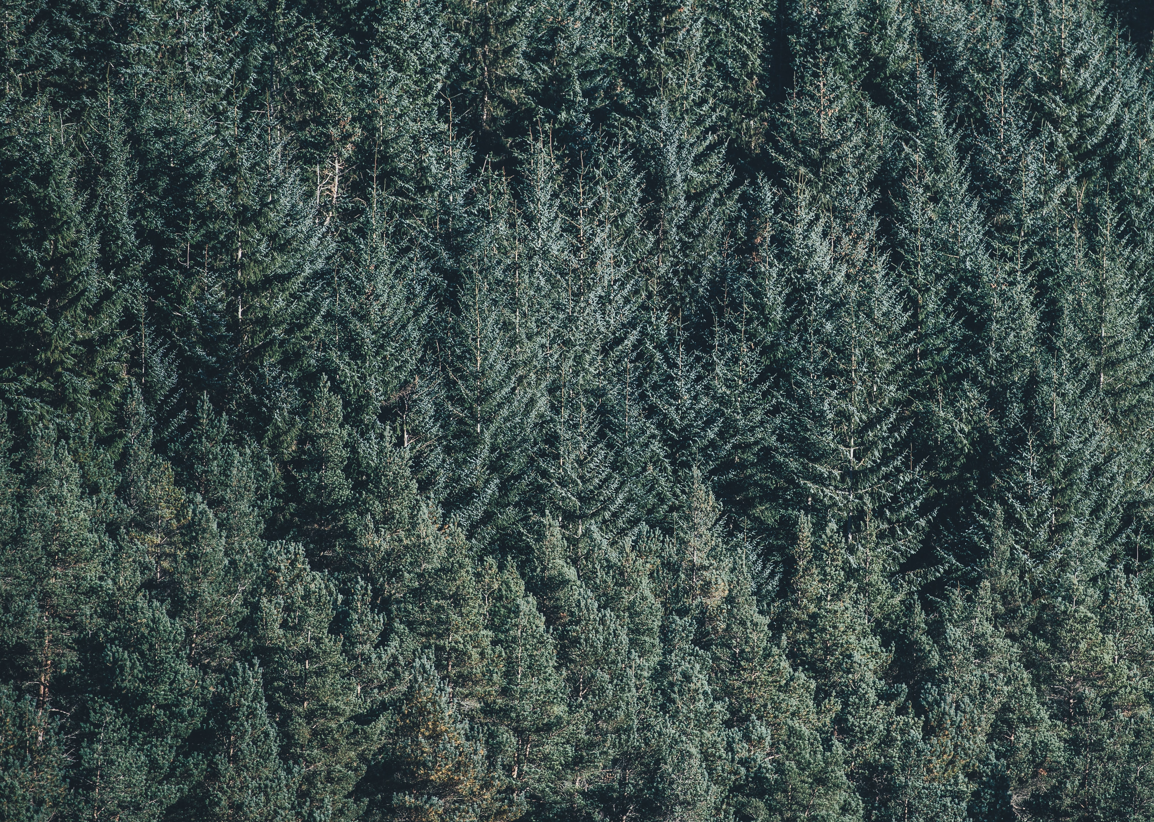 A drone shot of tall pine trees